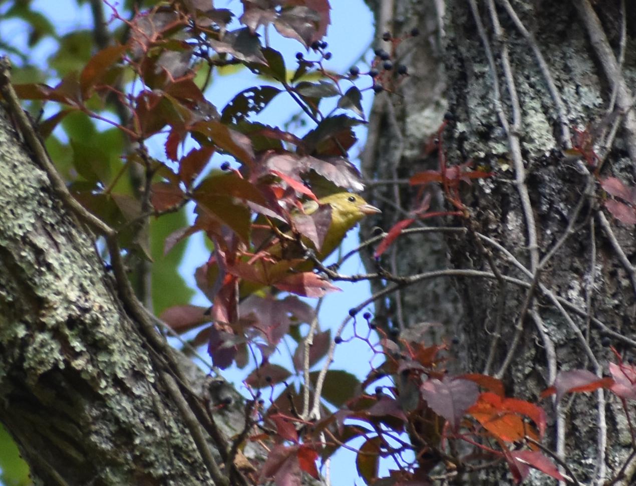 Scarlet Tanager eating Virginia Creeper berries
