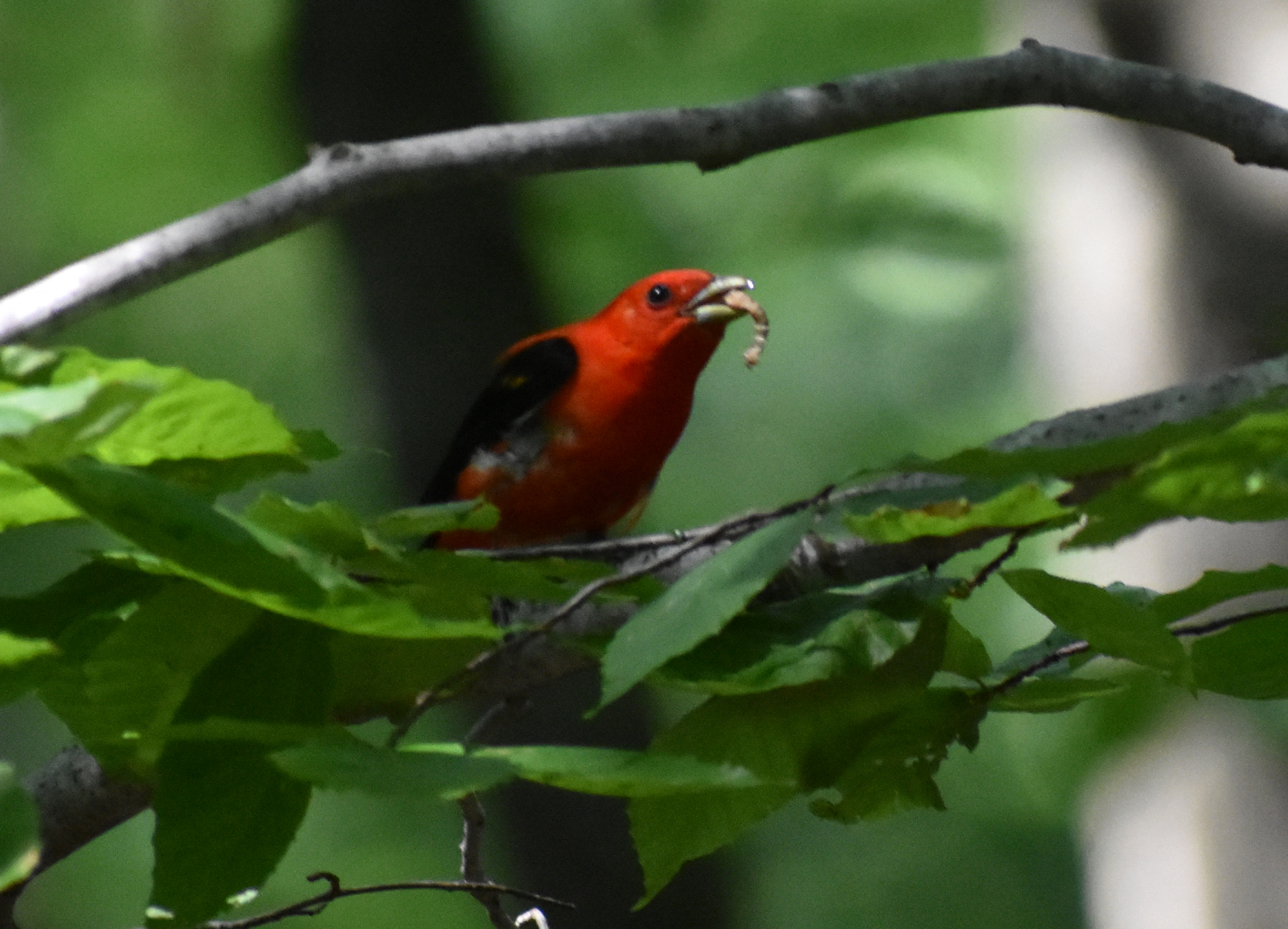 Scarlet Tanager eating caterpillar in American Beech
