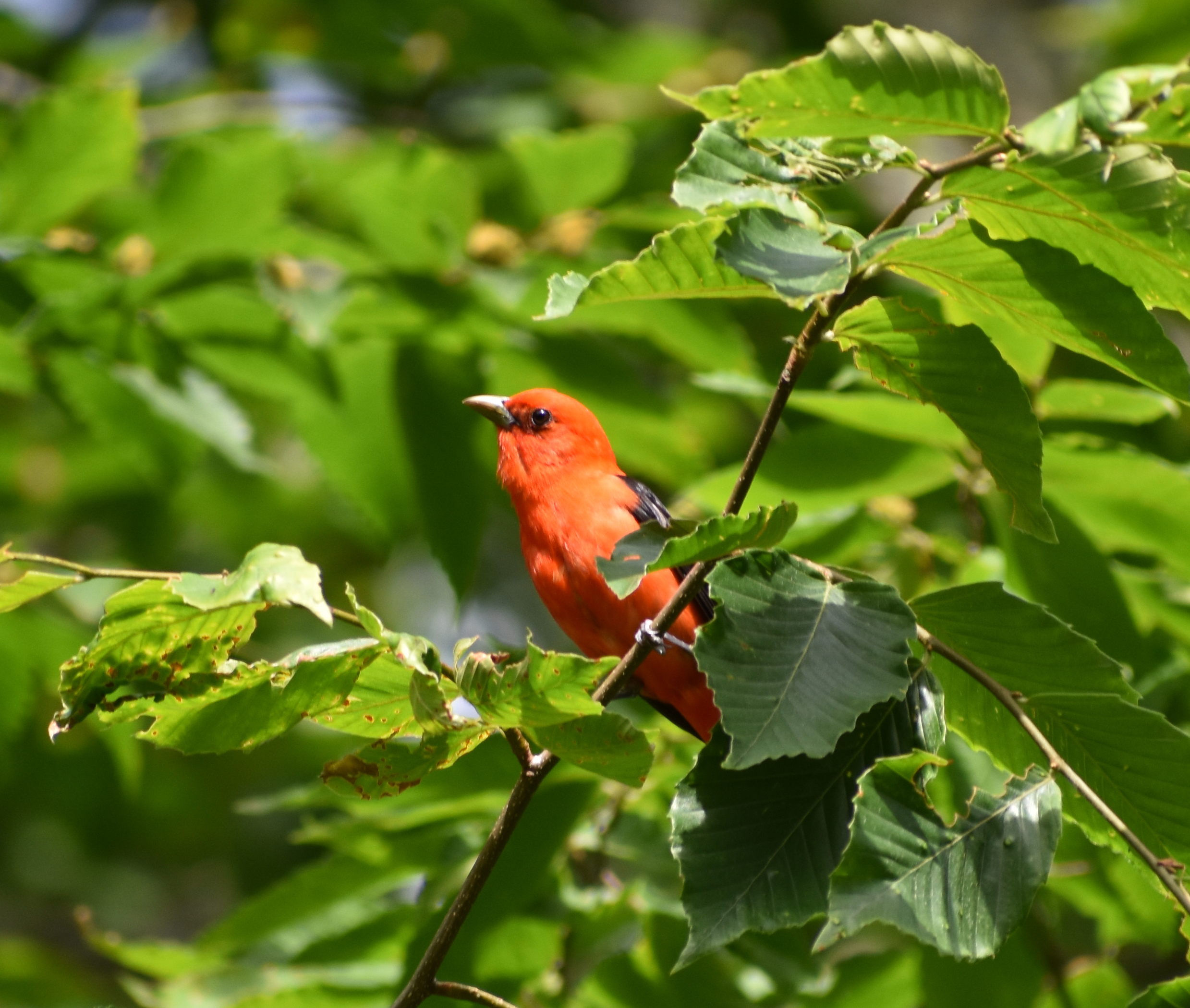 Scarlet Tanager foraging in American Beech