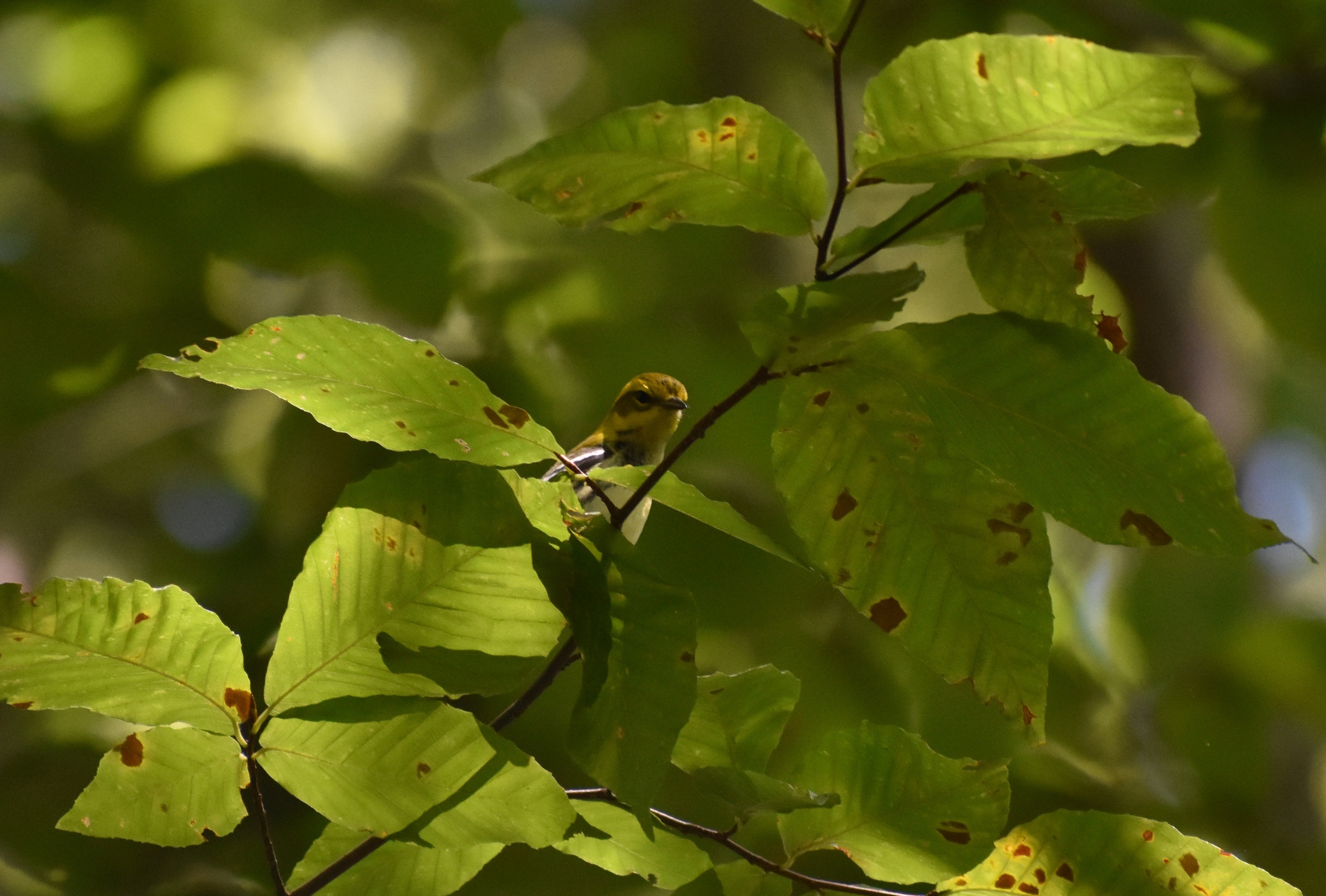 Black-Throated Green Warbler in American Beech