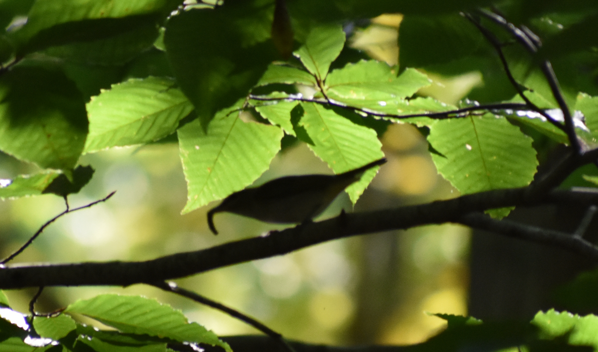 Red-Eyed Vireo eating caterpillar in American Beech