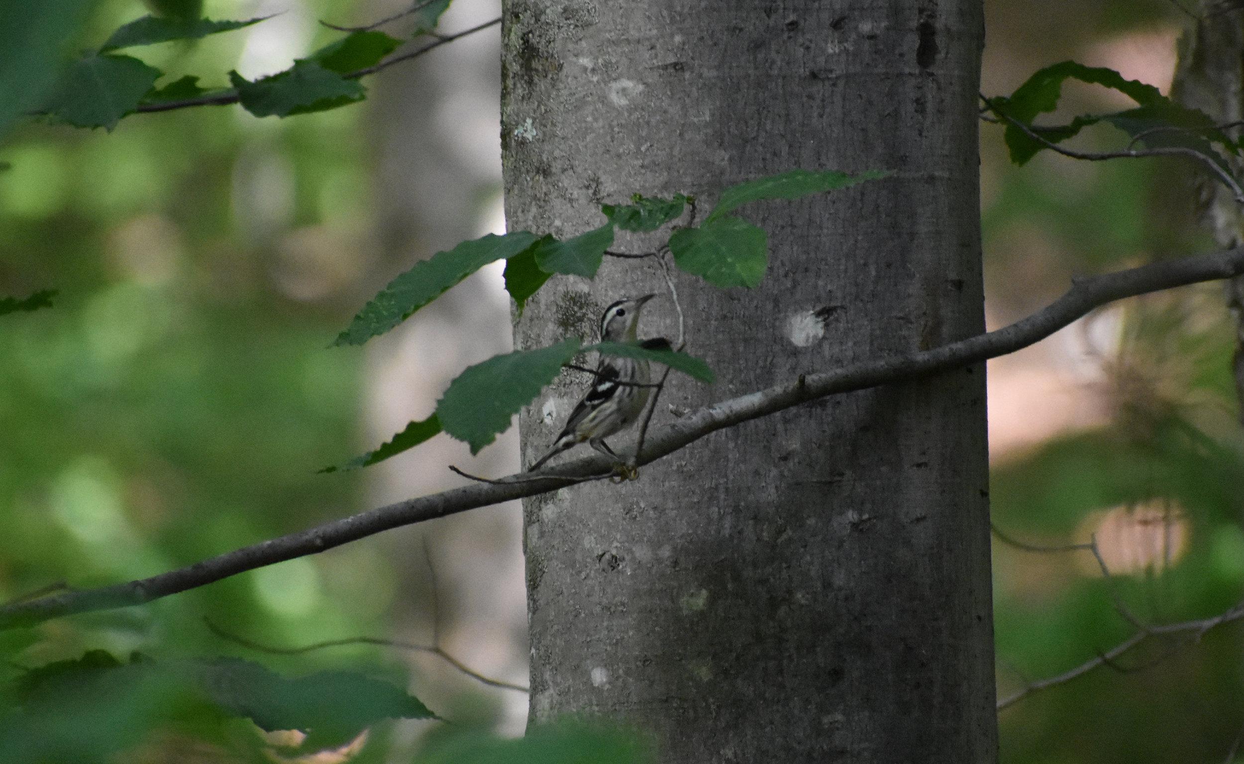 Black & White Warbler in American Beech