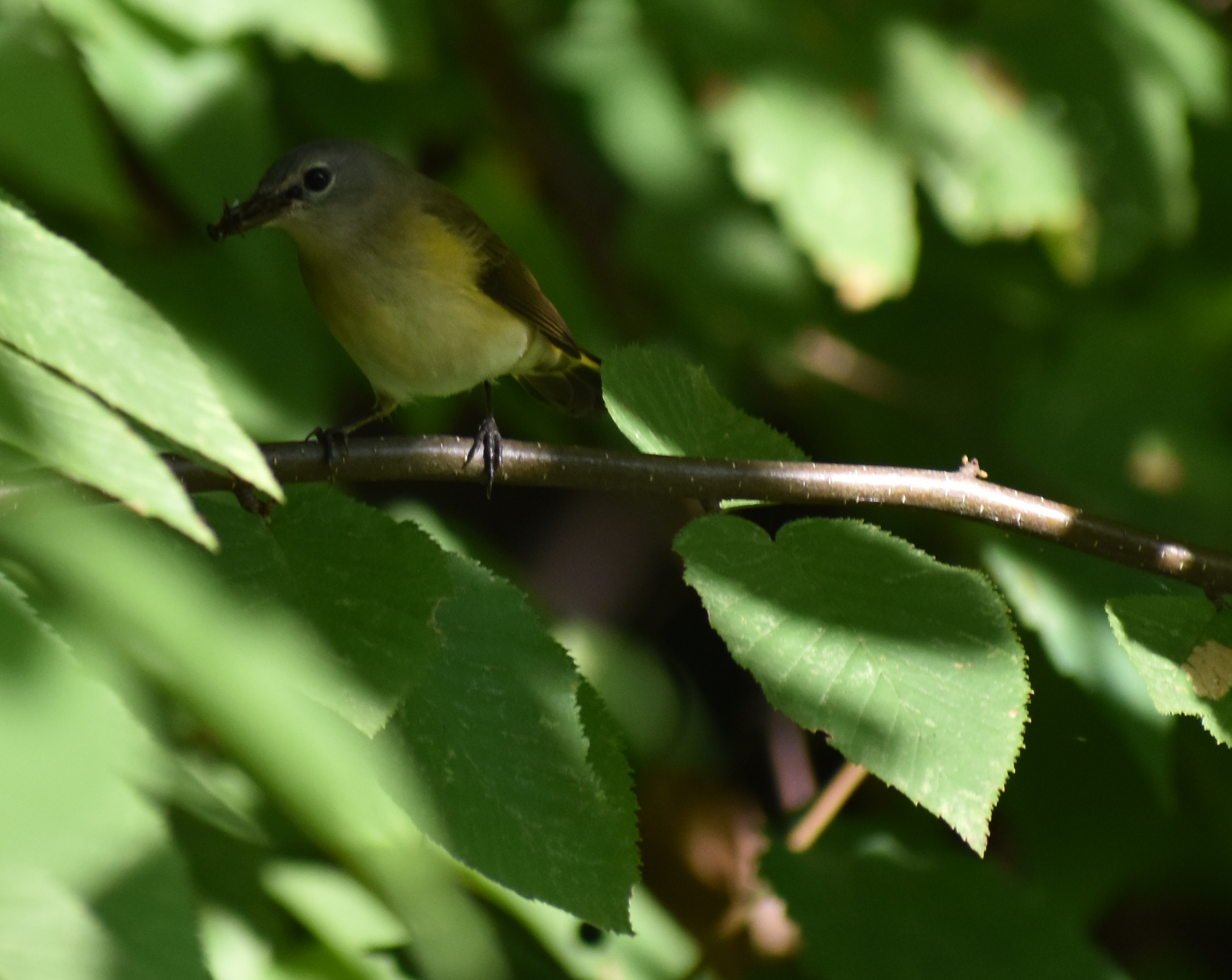 American Redstart eating insect in Birch