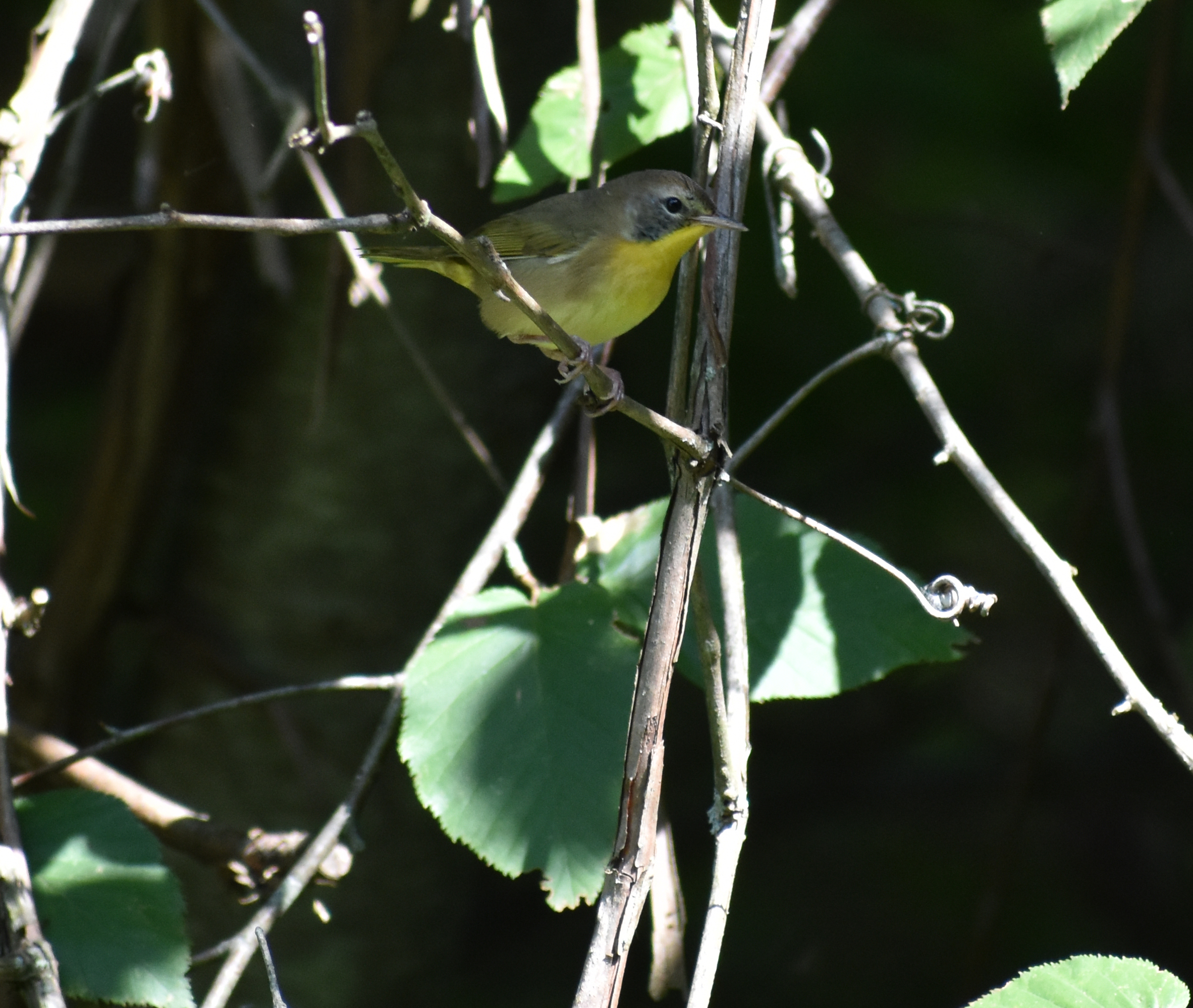 Common Yellowthroat in Birch