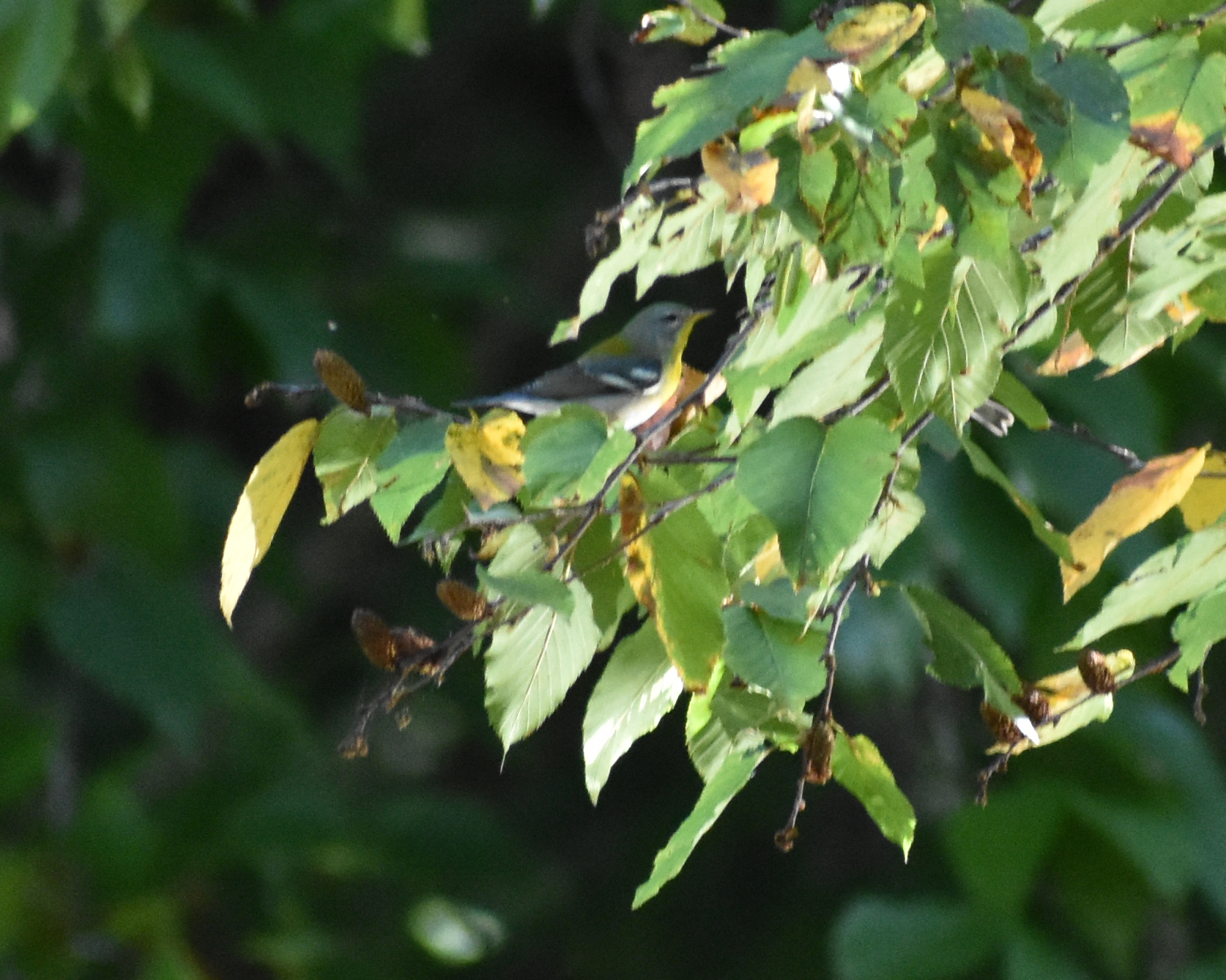 Northern Parula in Birch