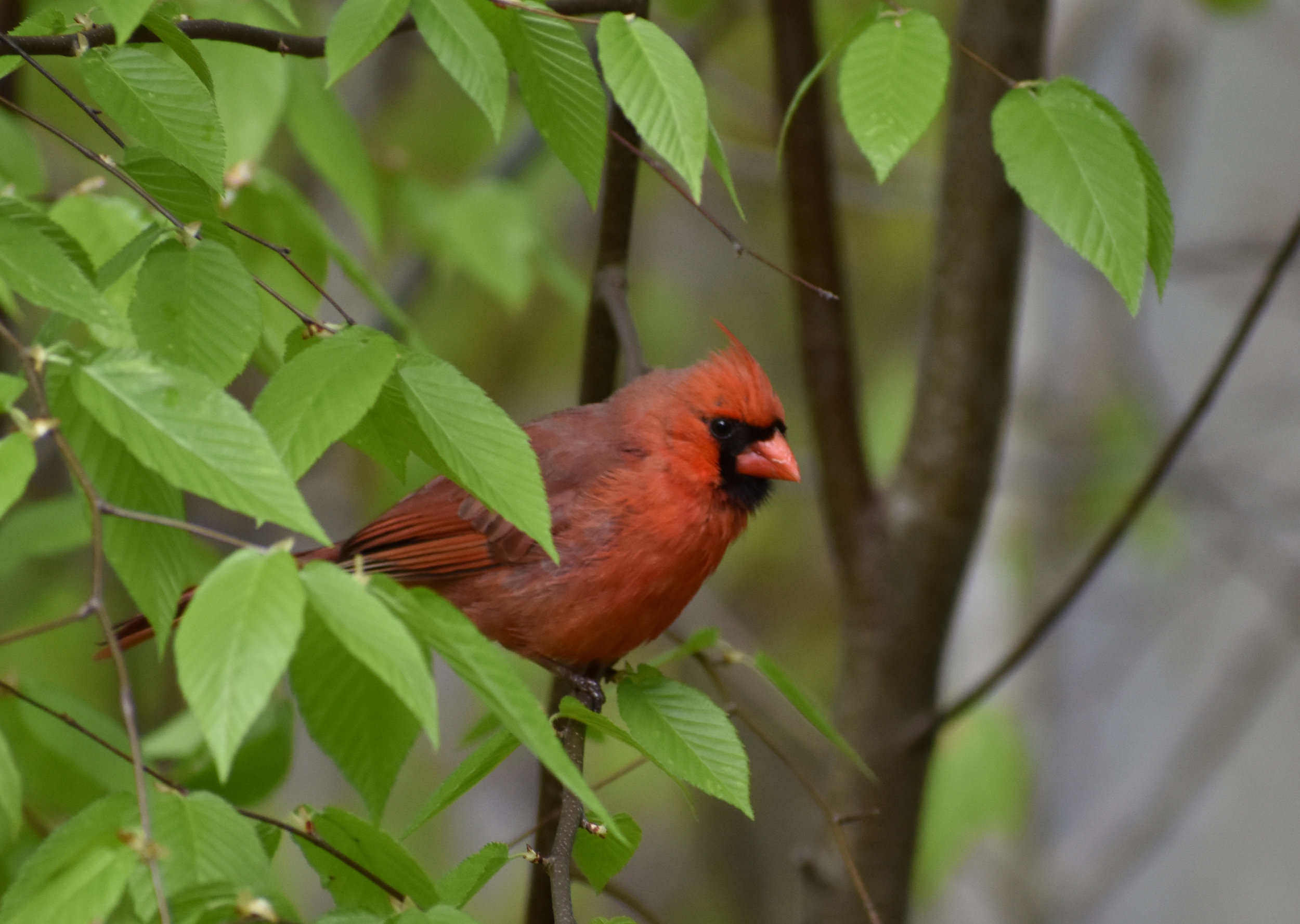 Northern Cardinal in Birch