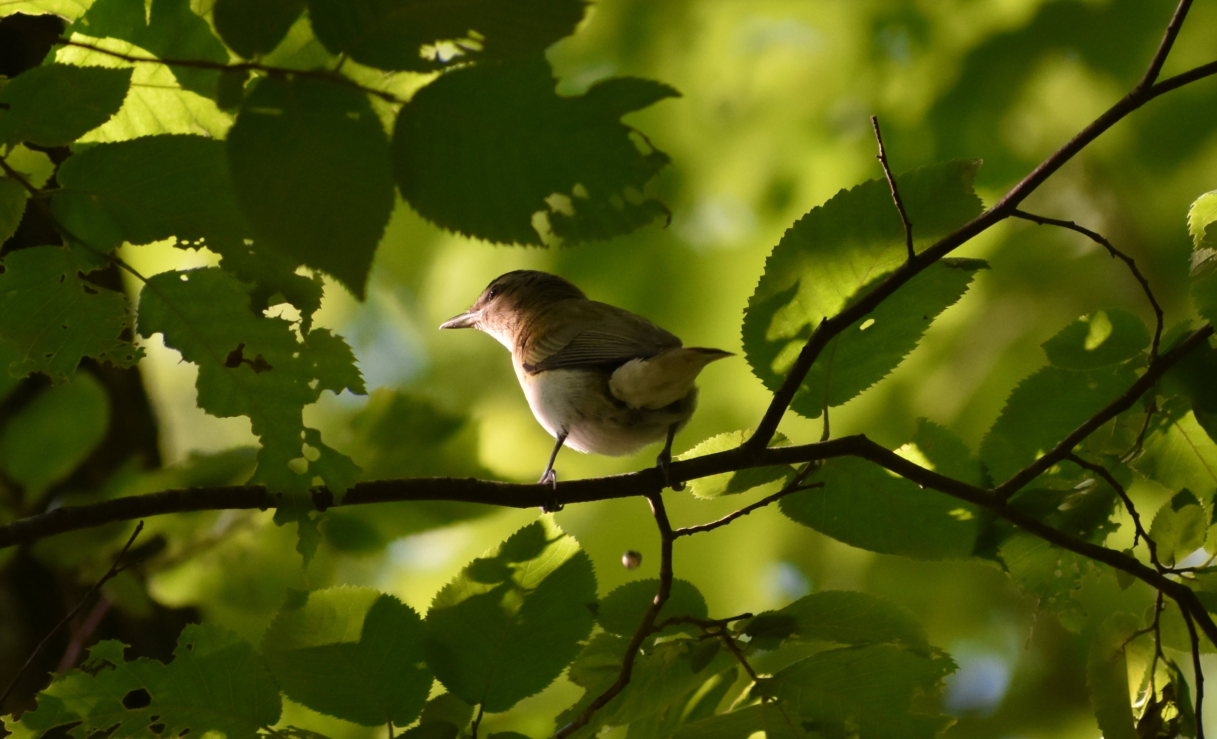 Red-Eyed Vireo in Birch