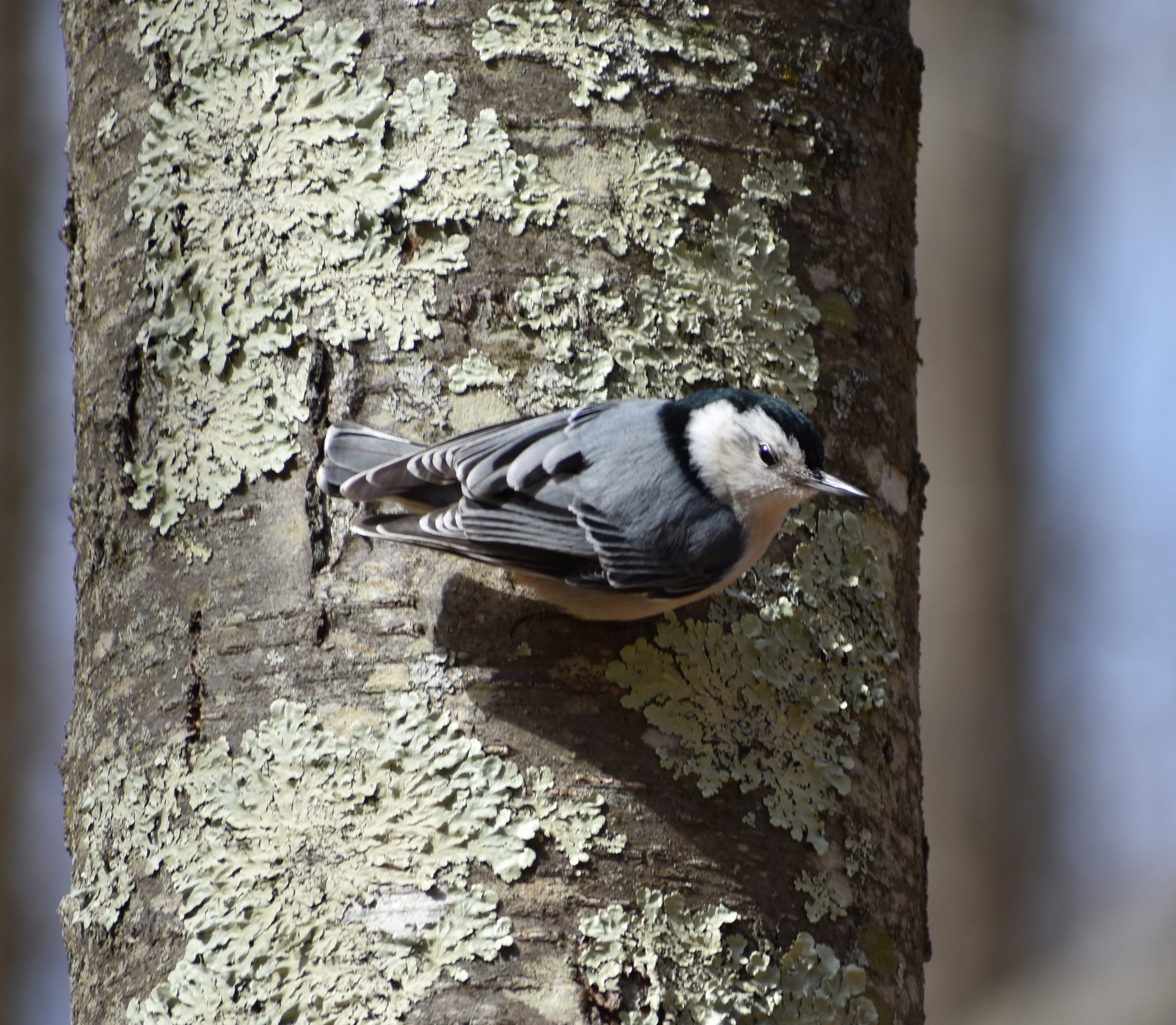 White-Breasted Nuthatch on Birch