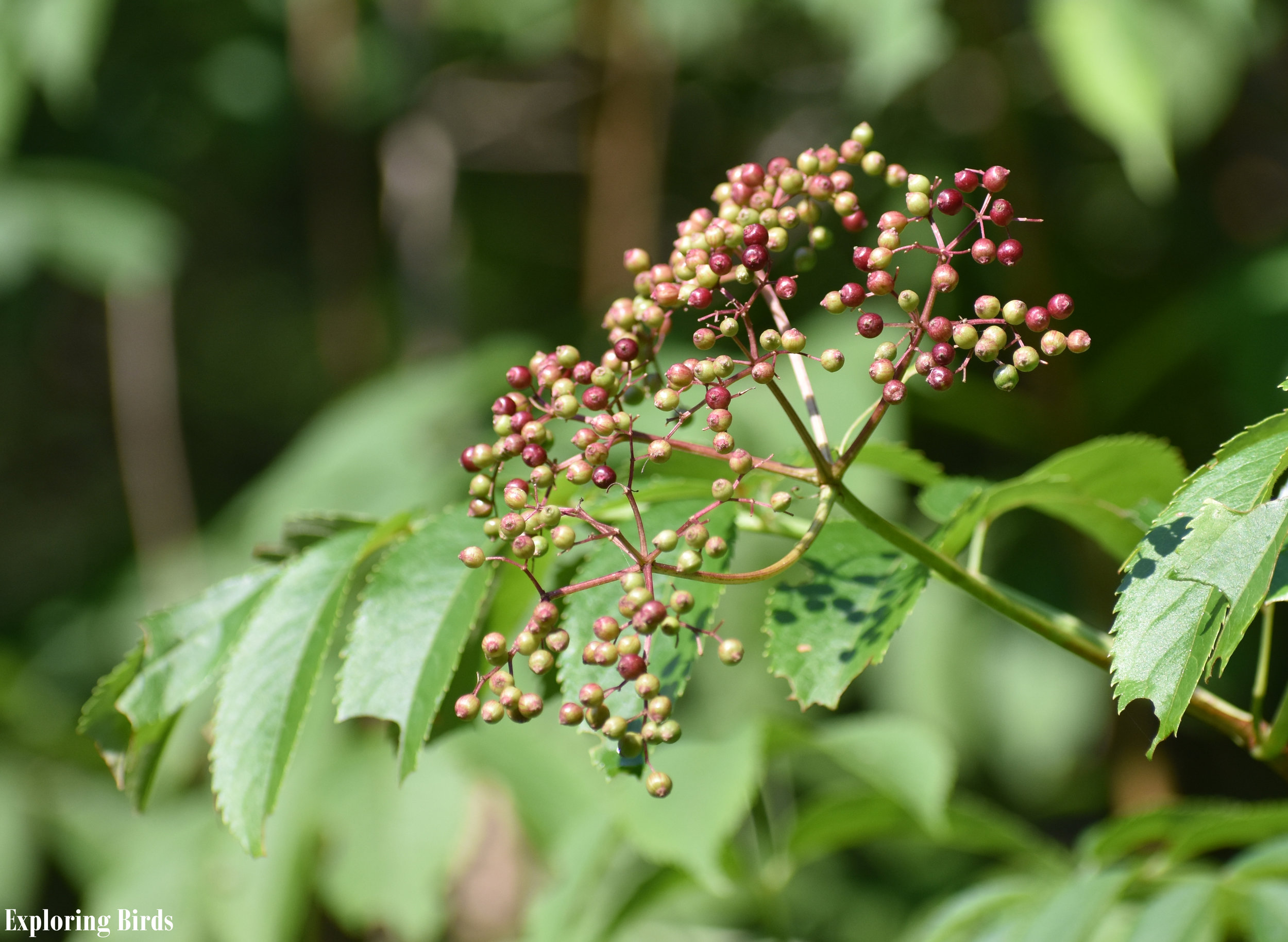 Elderberry is a plant that attracts birds