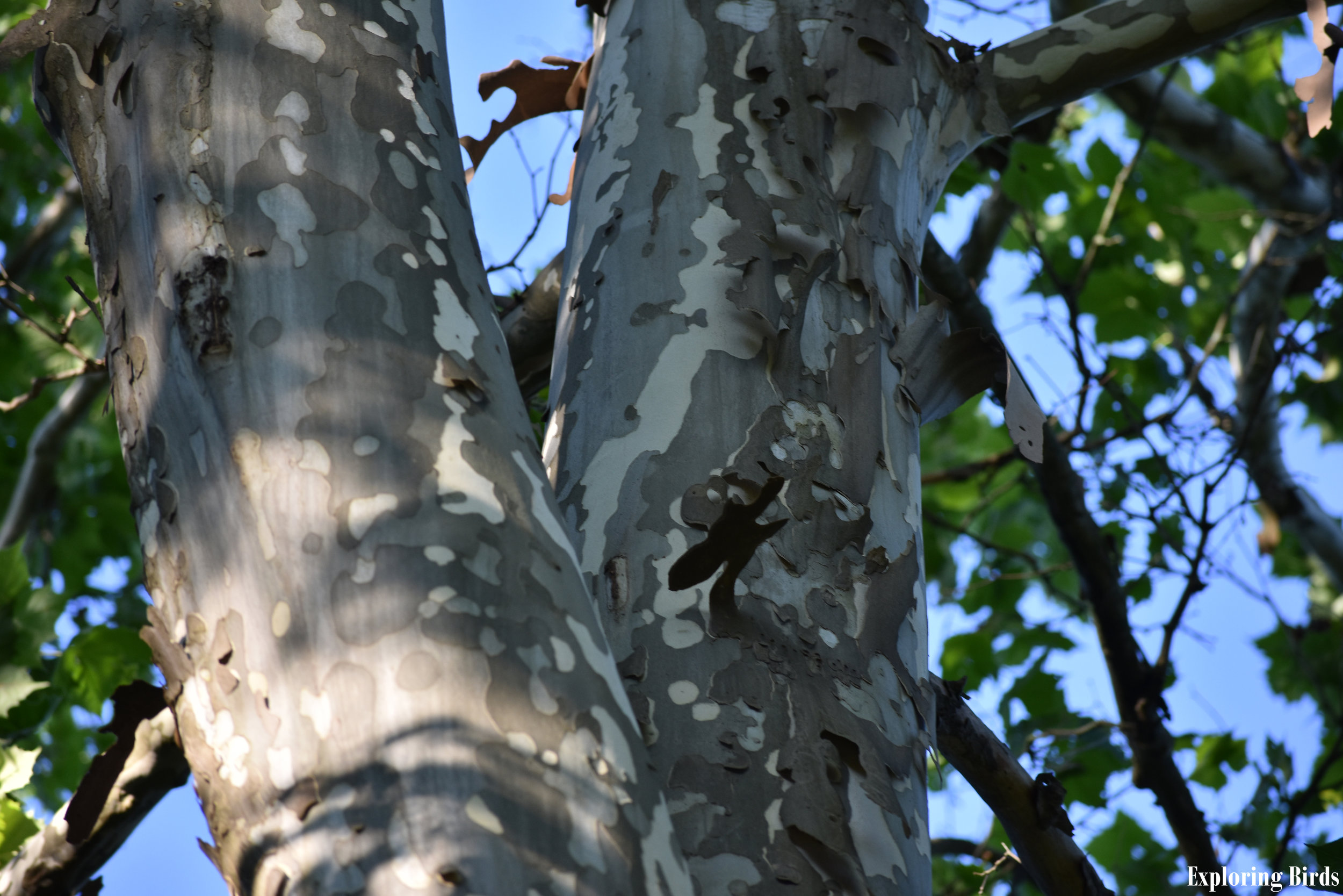 American Sycamore is used by birds for nesting