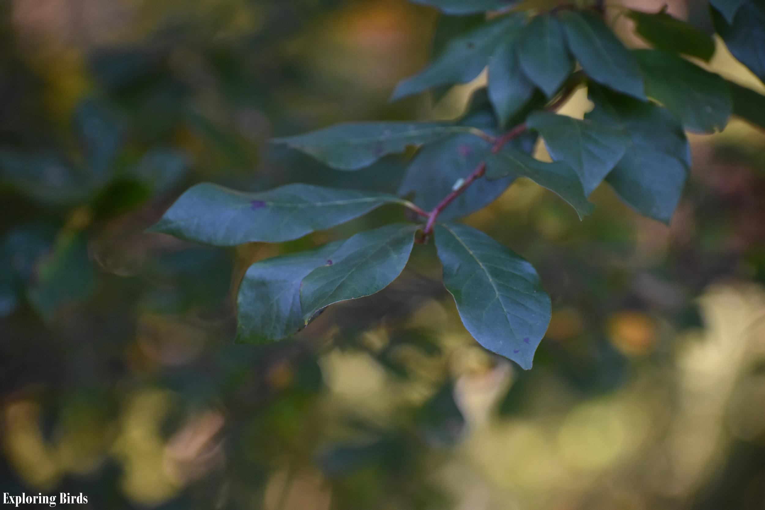 Blackgum leaf identification