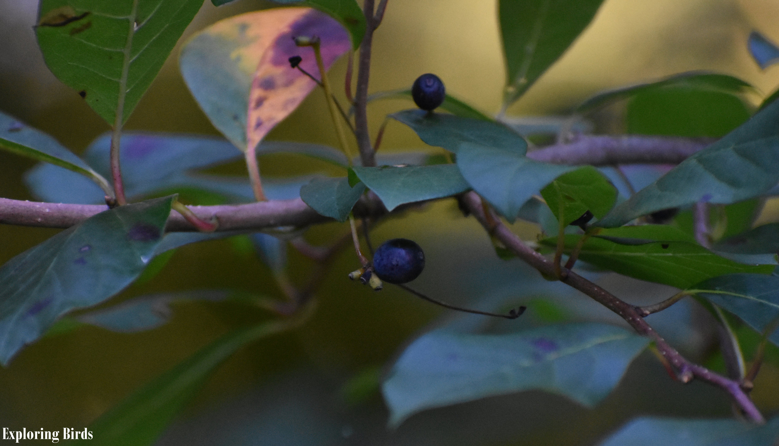 Blackgum berries attract birds