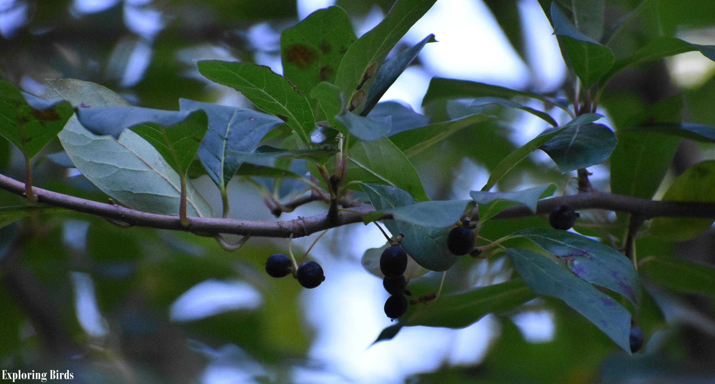 Blackgum trees attract birds