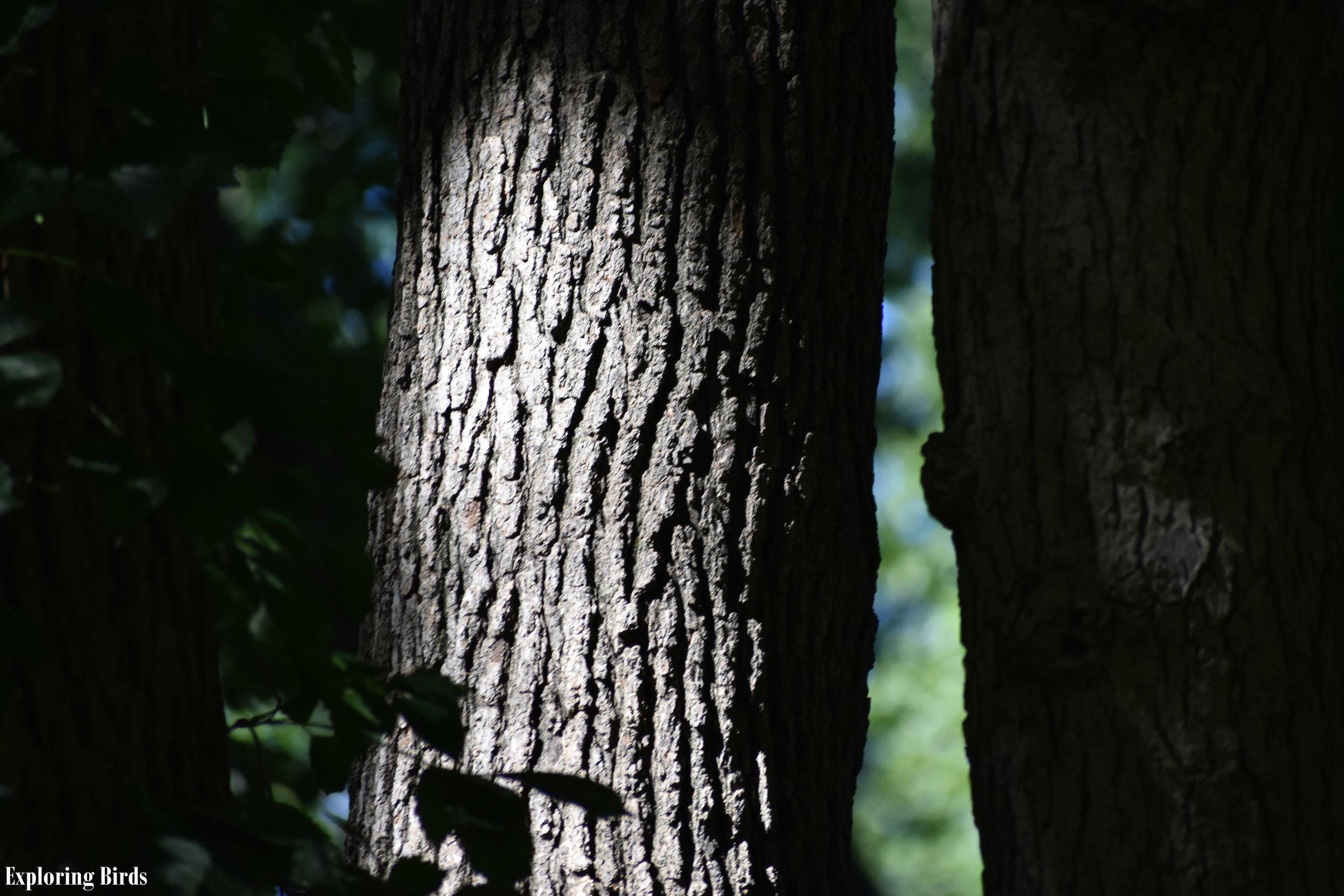 Blackgum tree bark identification