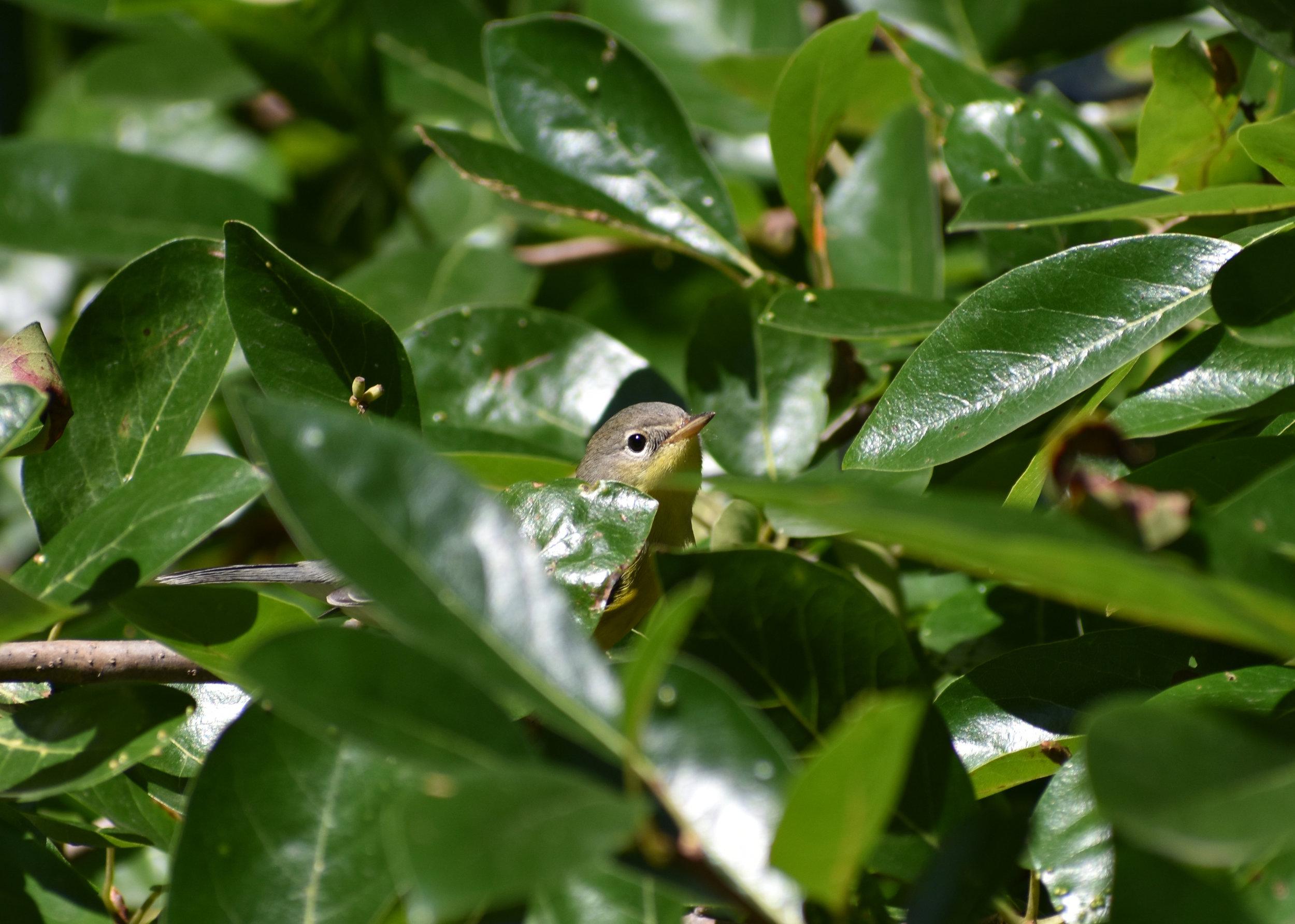 Magnolia Warbler in Blackgum