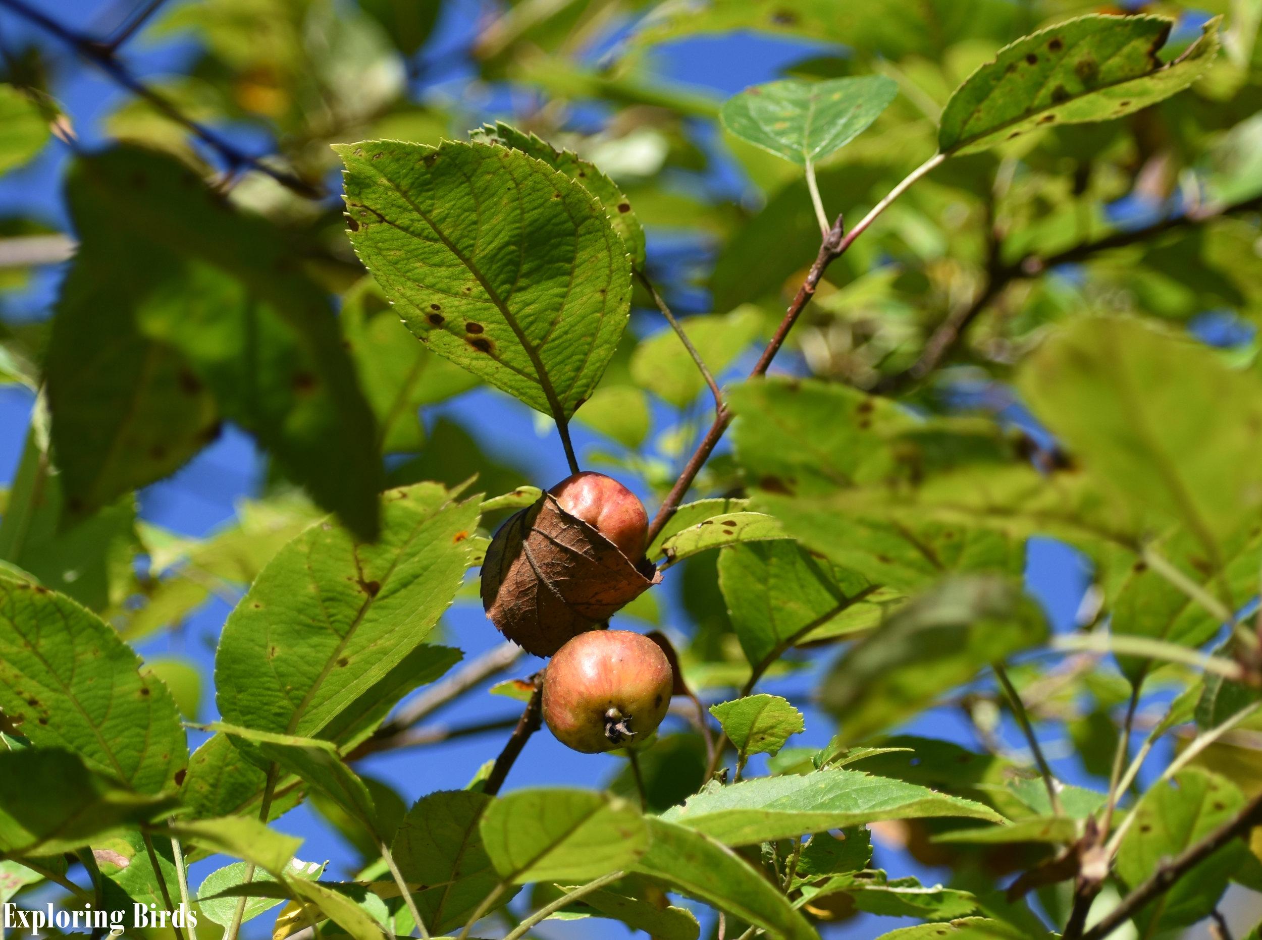 American Crabapple attracts Cedar Waxwing