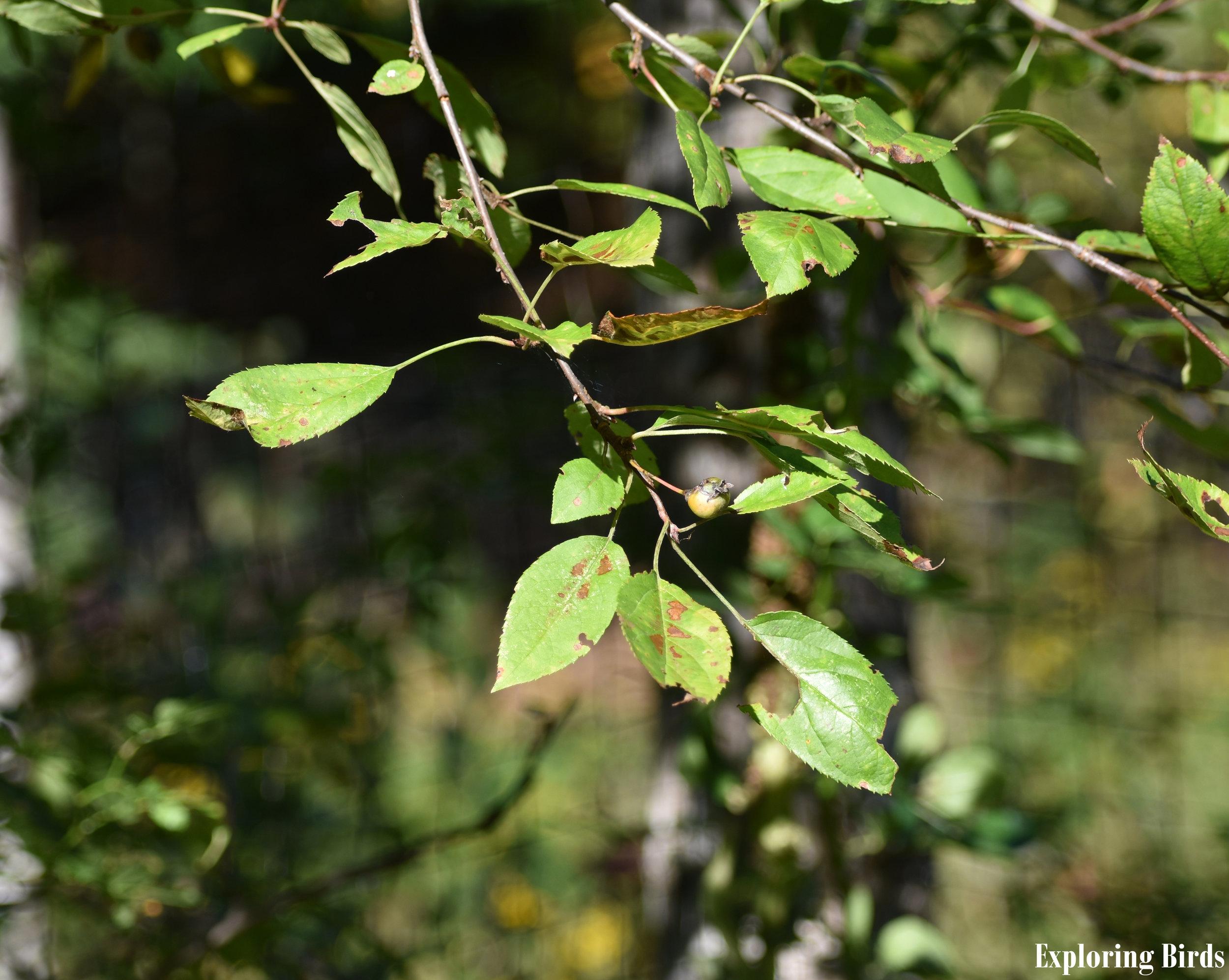 American Crabapple leaves
