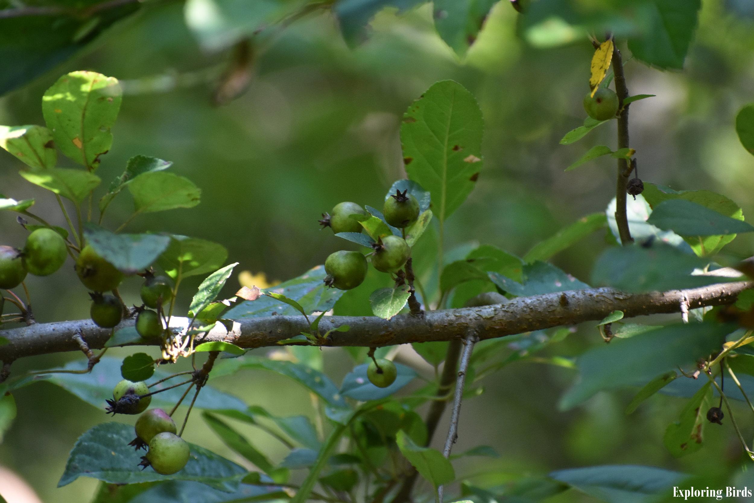 American Crabapple attracts Northern Mockingbird