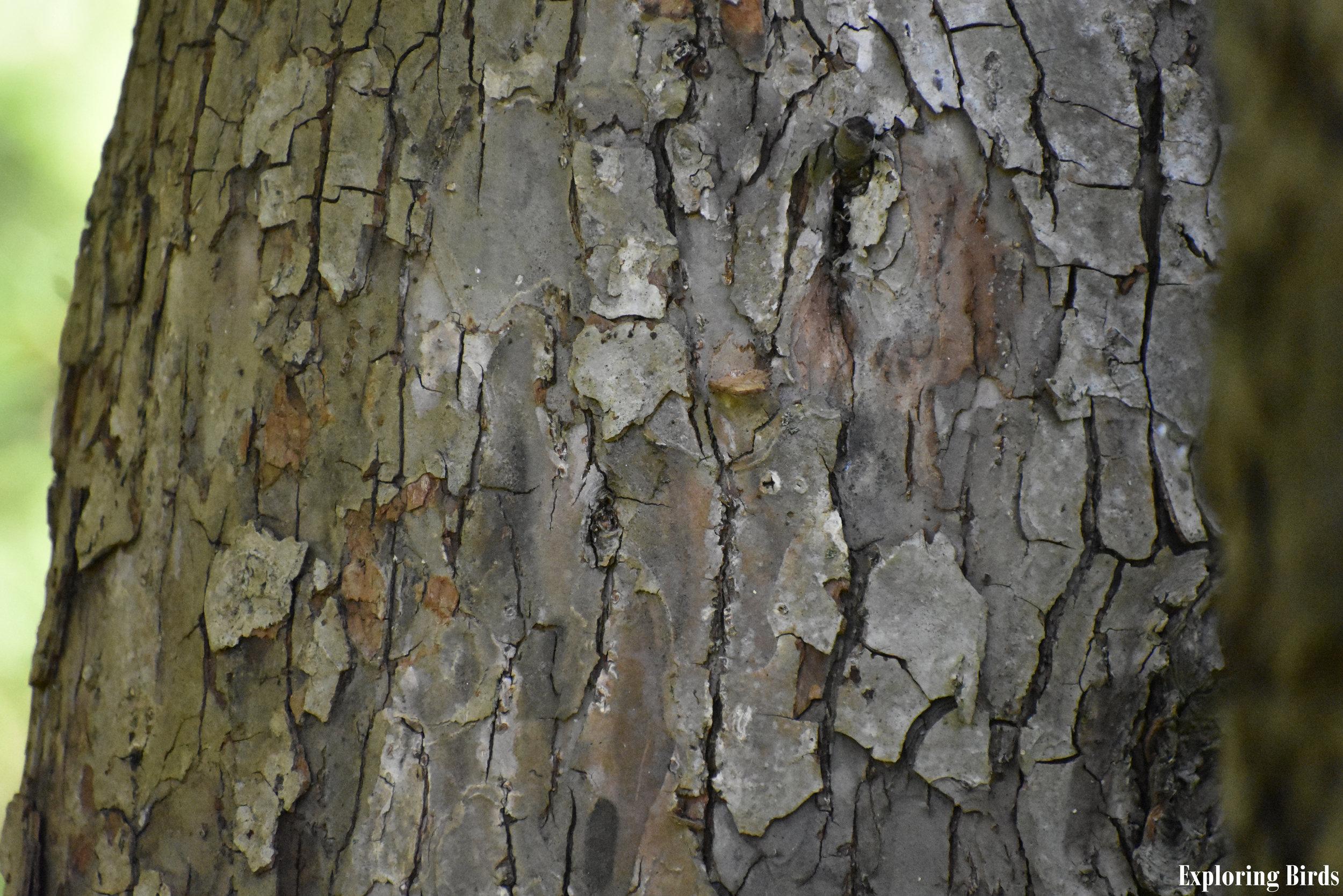 American Crabapple Bark Identification