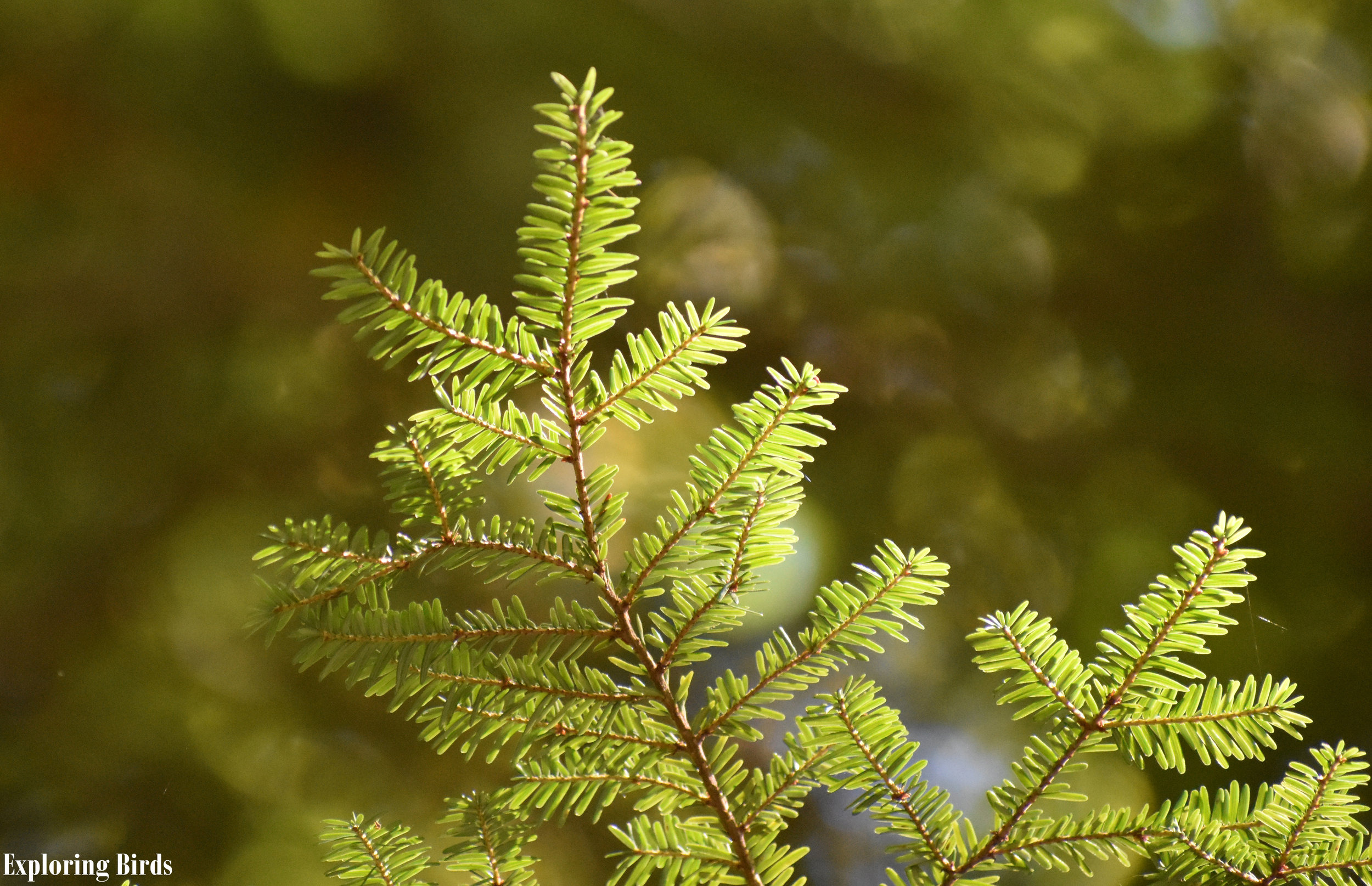 Eastern Hemlock is a tree that attracts birds