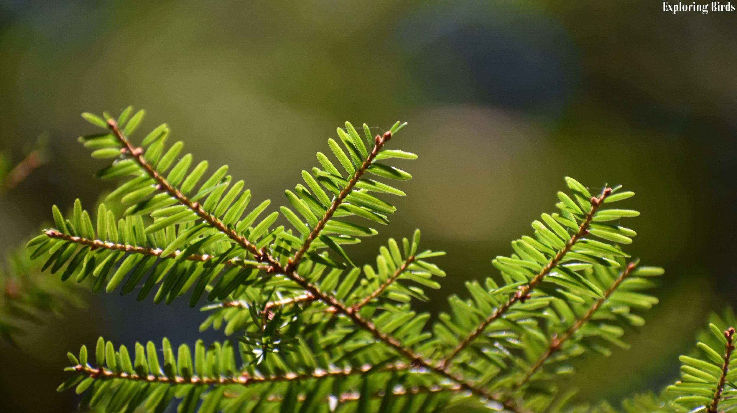 Eastern Hemlock branch