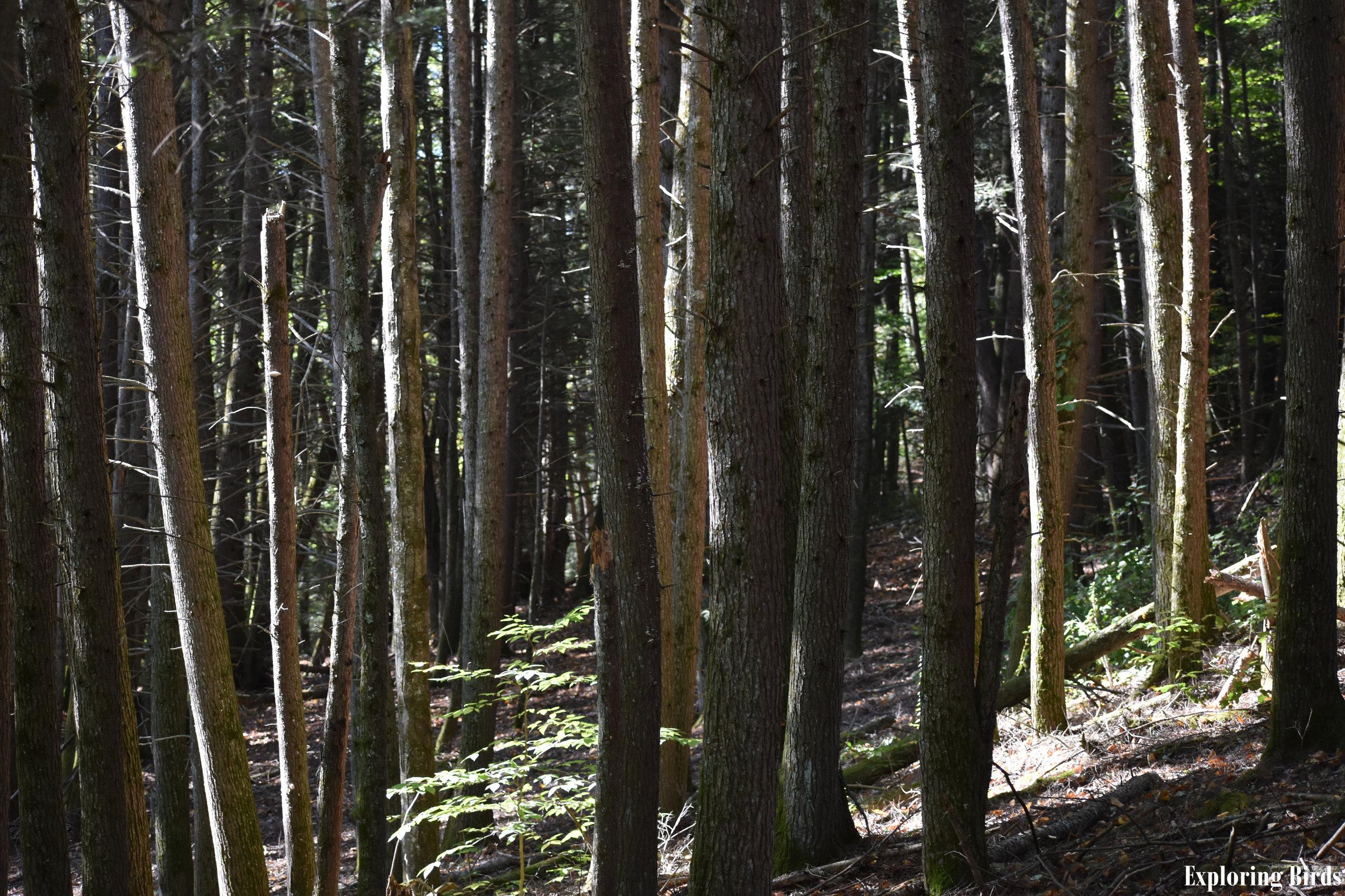 Eastern Hemlock forest attracts Crossbills