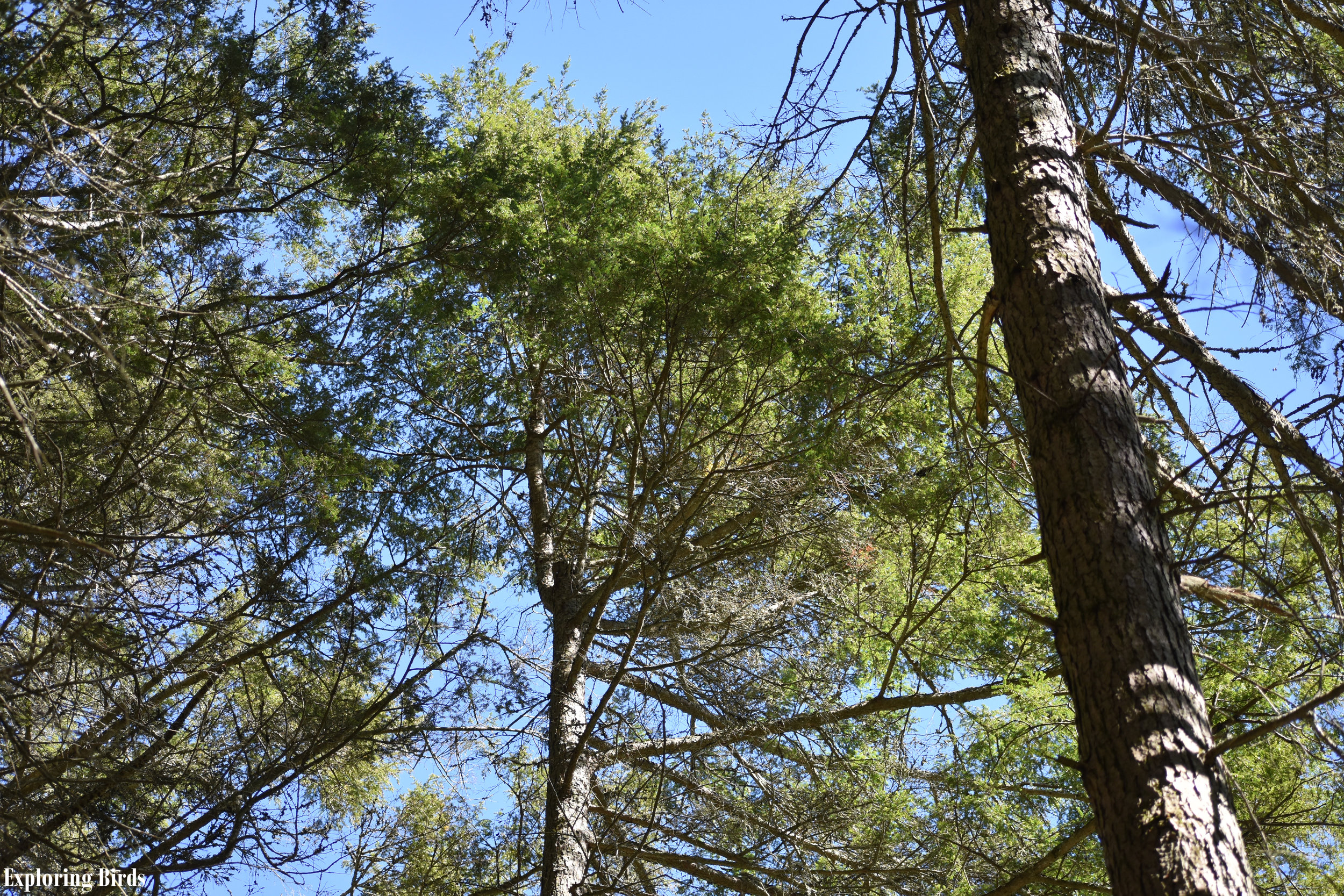 Eastern Hemlock is used by many birds for shelter
