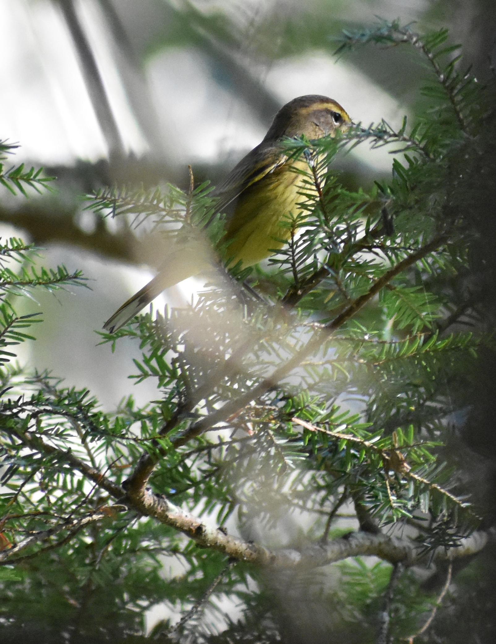 Palm Warbler in Eastern Hemlock