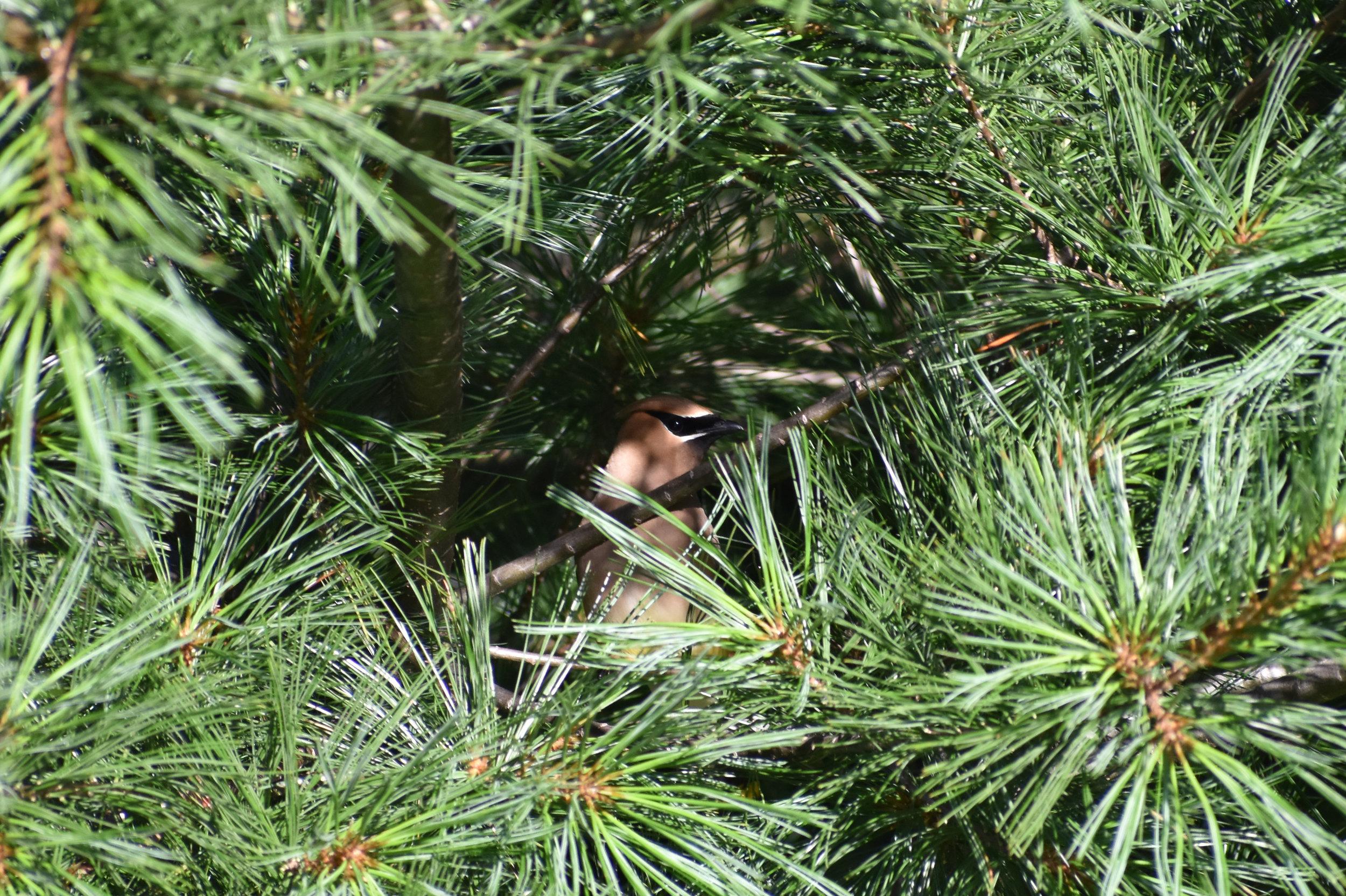 Cedar Waxwing in Eastern White Pine