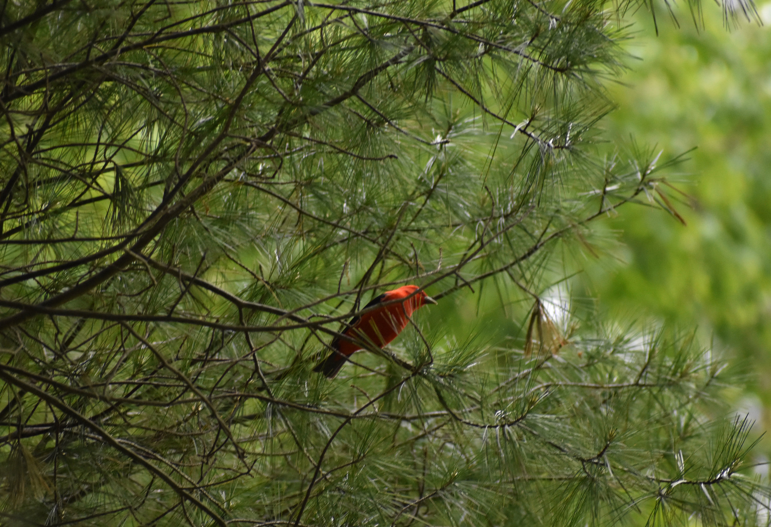 Scarlet Tanager in Eastern White Pine