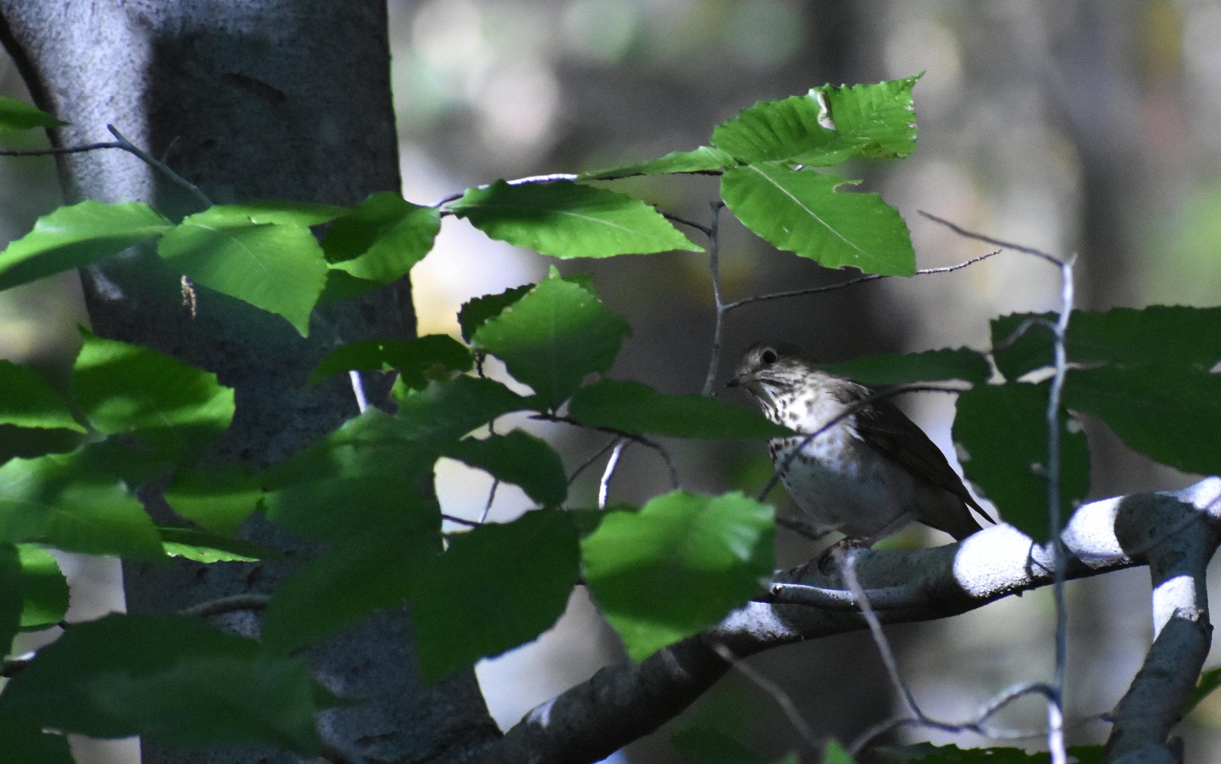 Hermit Thrush in American Beech