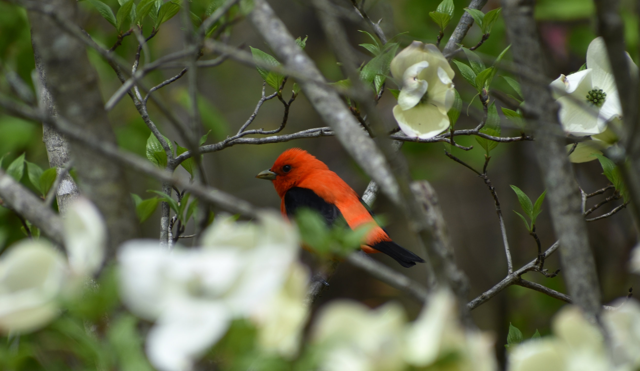 Scarlet Tanager in Flowering Dogwood