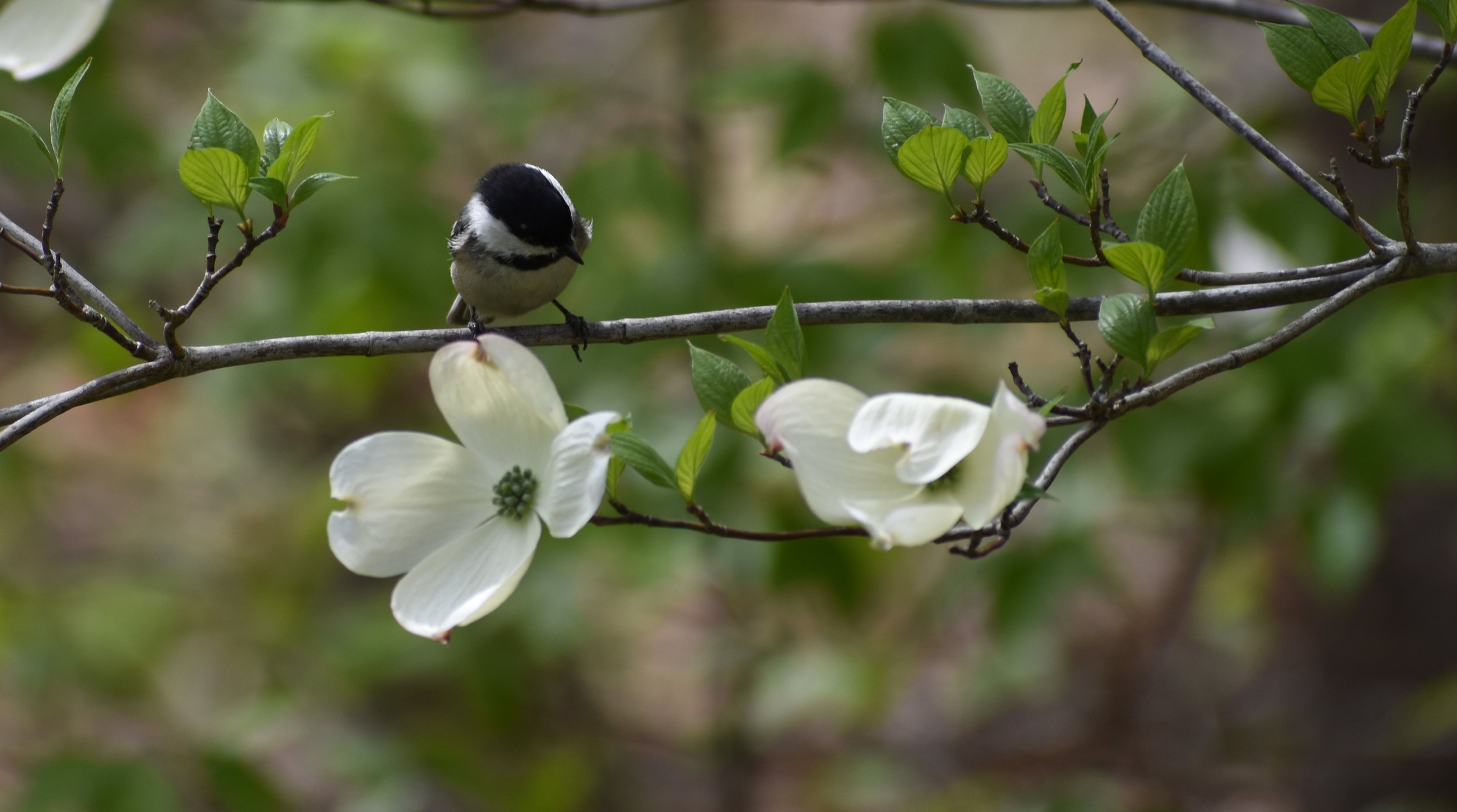 Black-Capped Chickadee in Flowering Dogwood