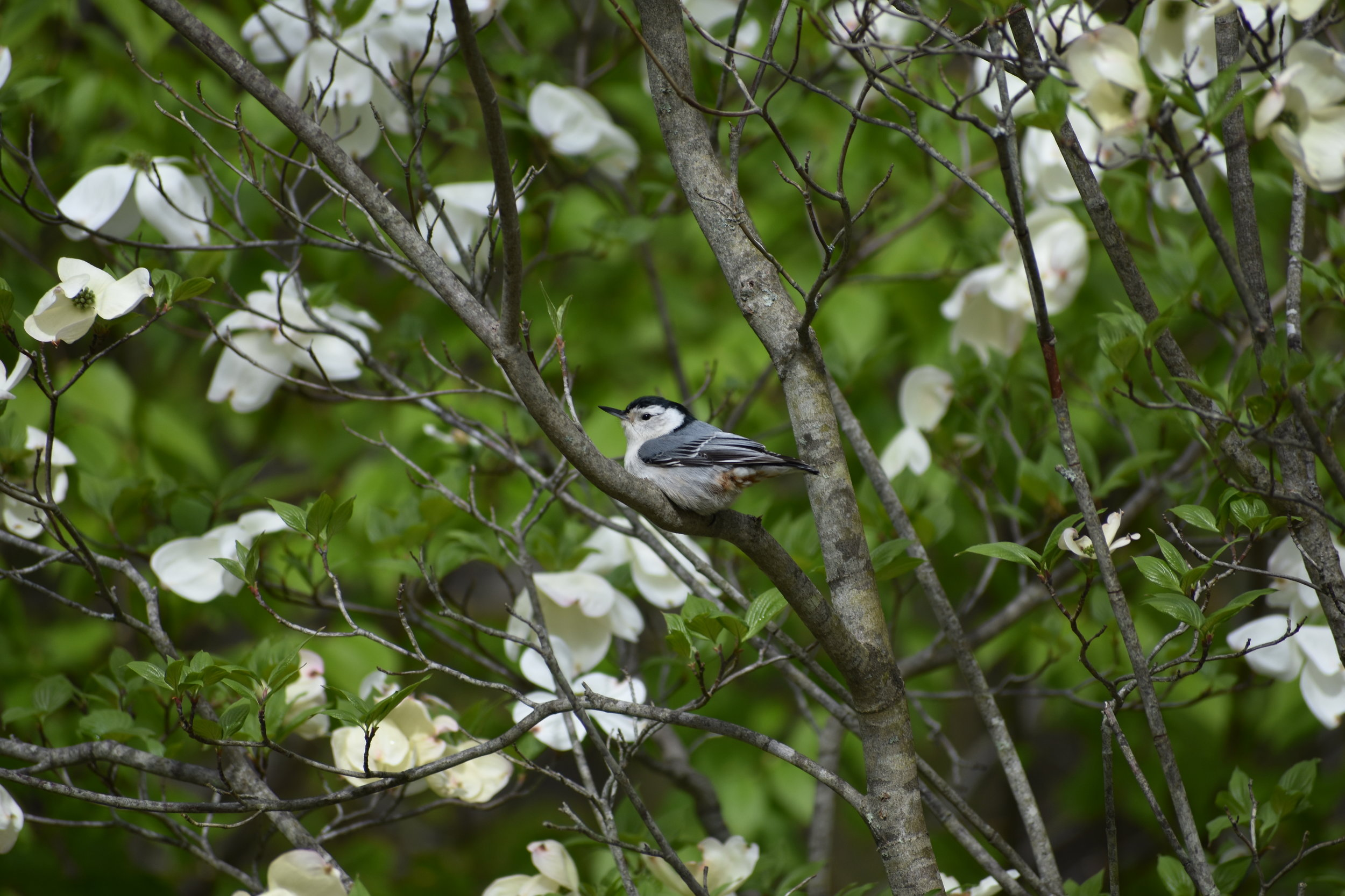 White-Breasted Nuthatch in Flowering Dogwood