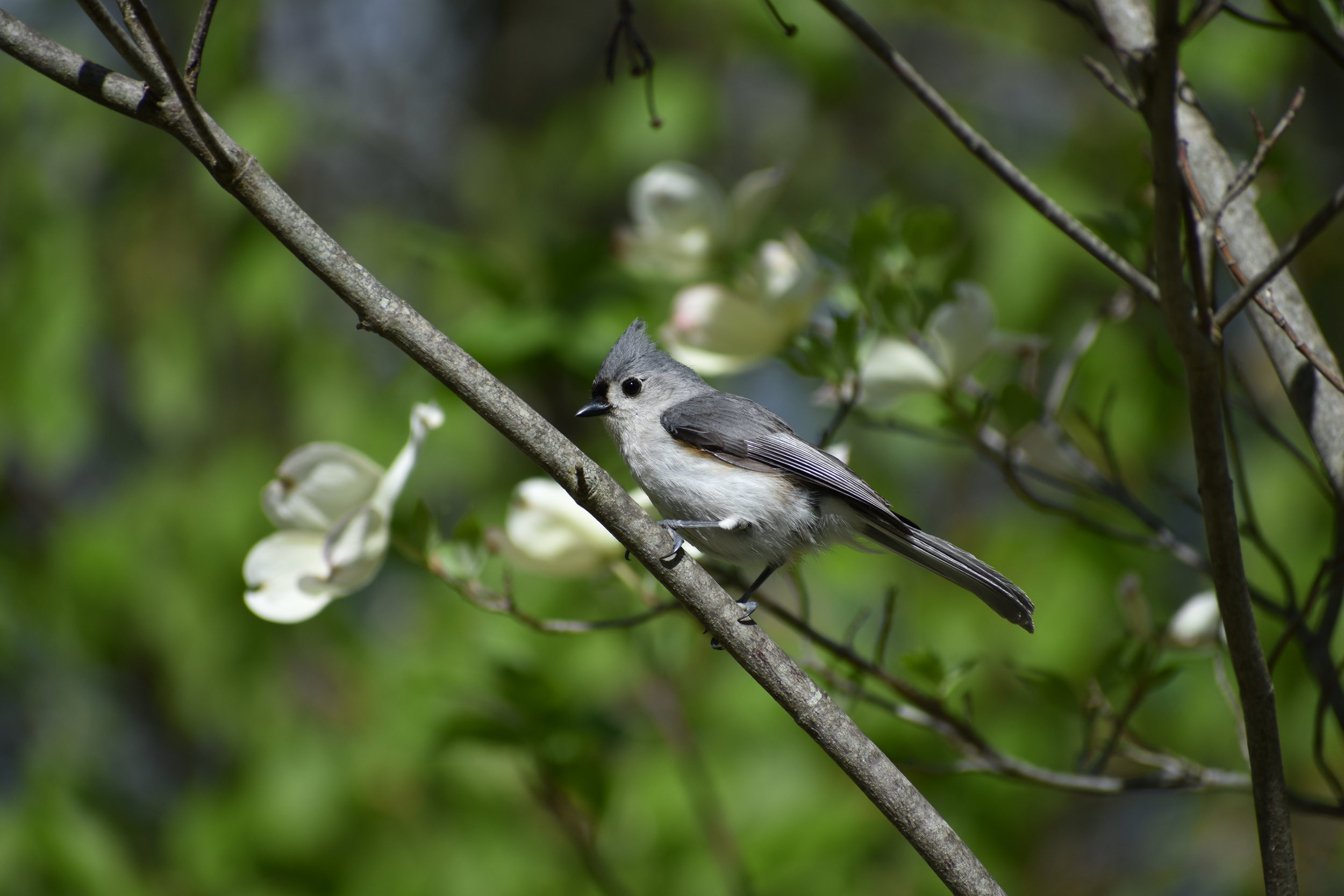 Tufted Titmouse in Flowering Dogwood