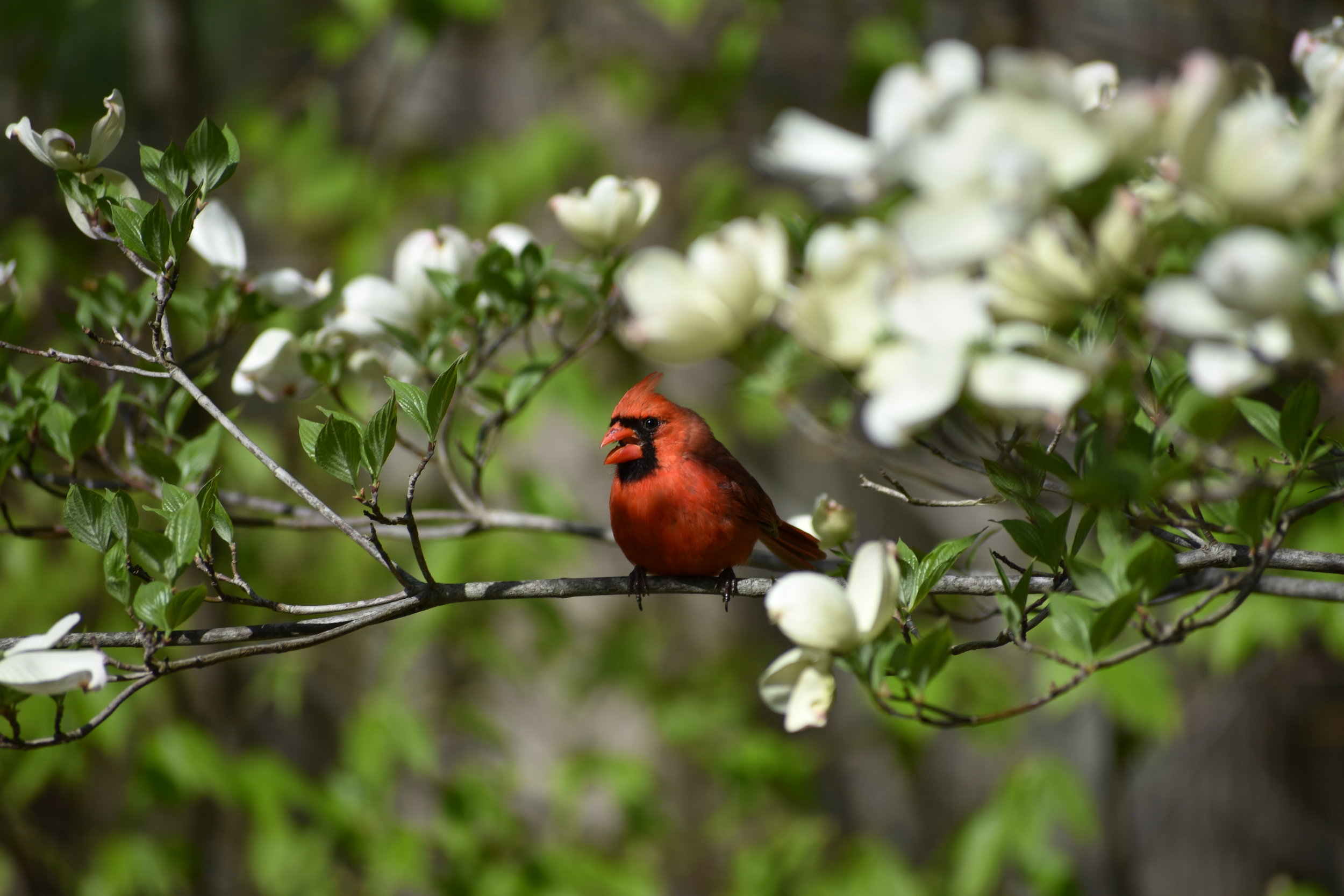Northern Cardinal in Flowering Dogwood