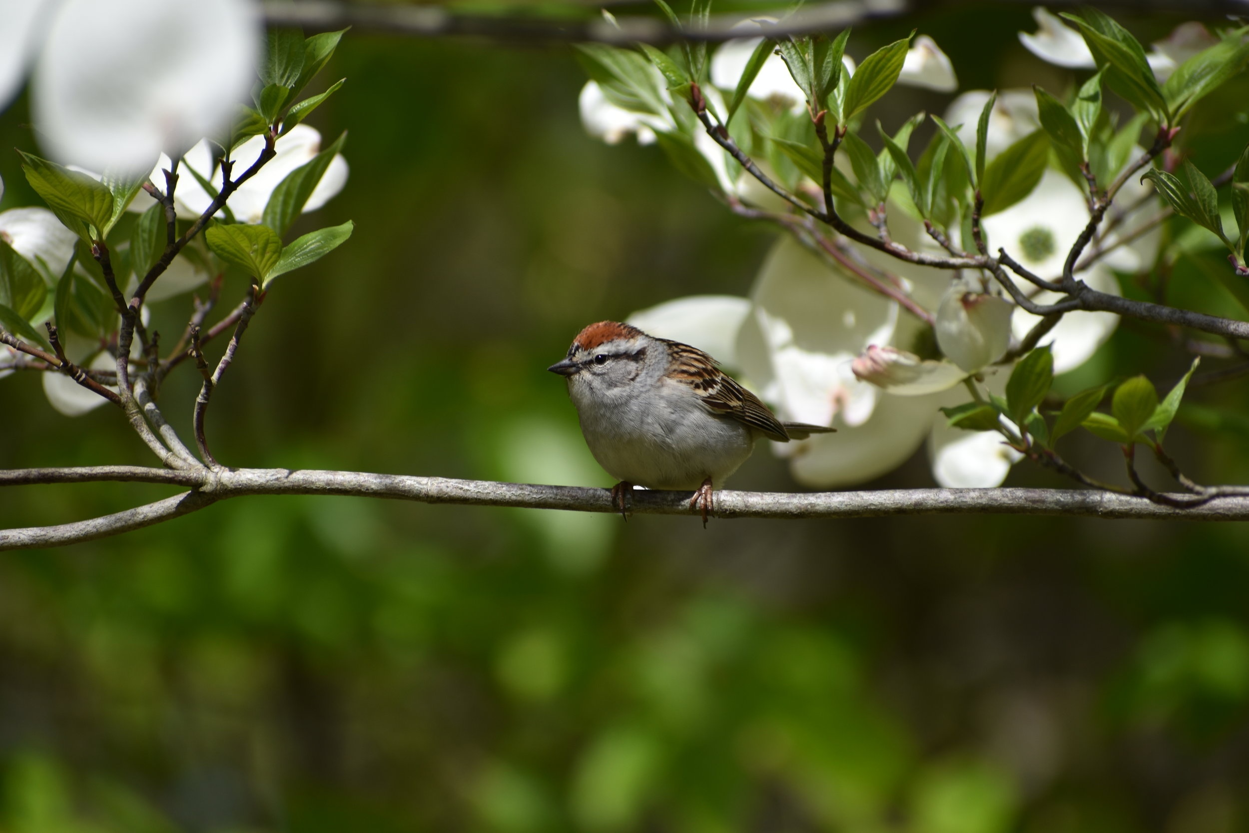 Chipping Sparrow in Flowering Dogwood