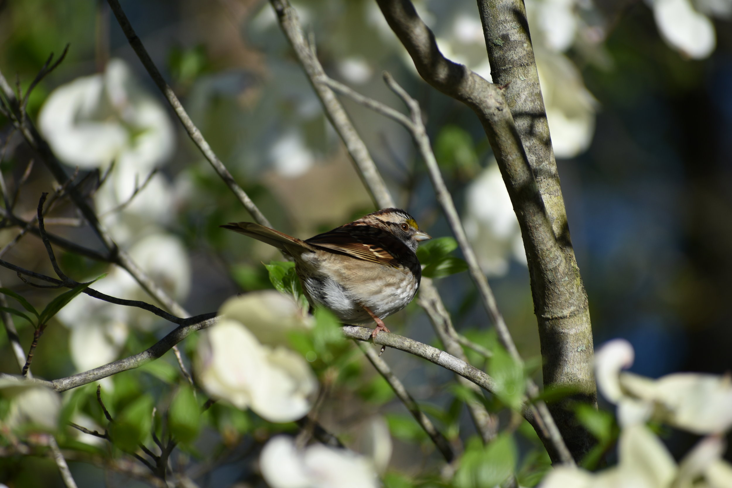 White-Throated Sparrow in Flowering Dogwood