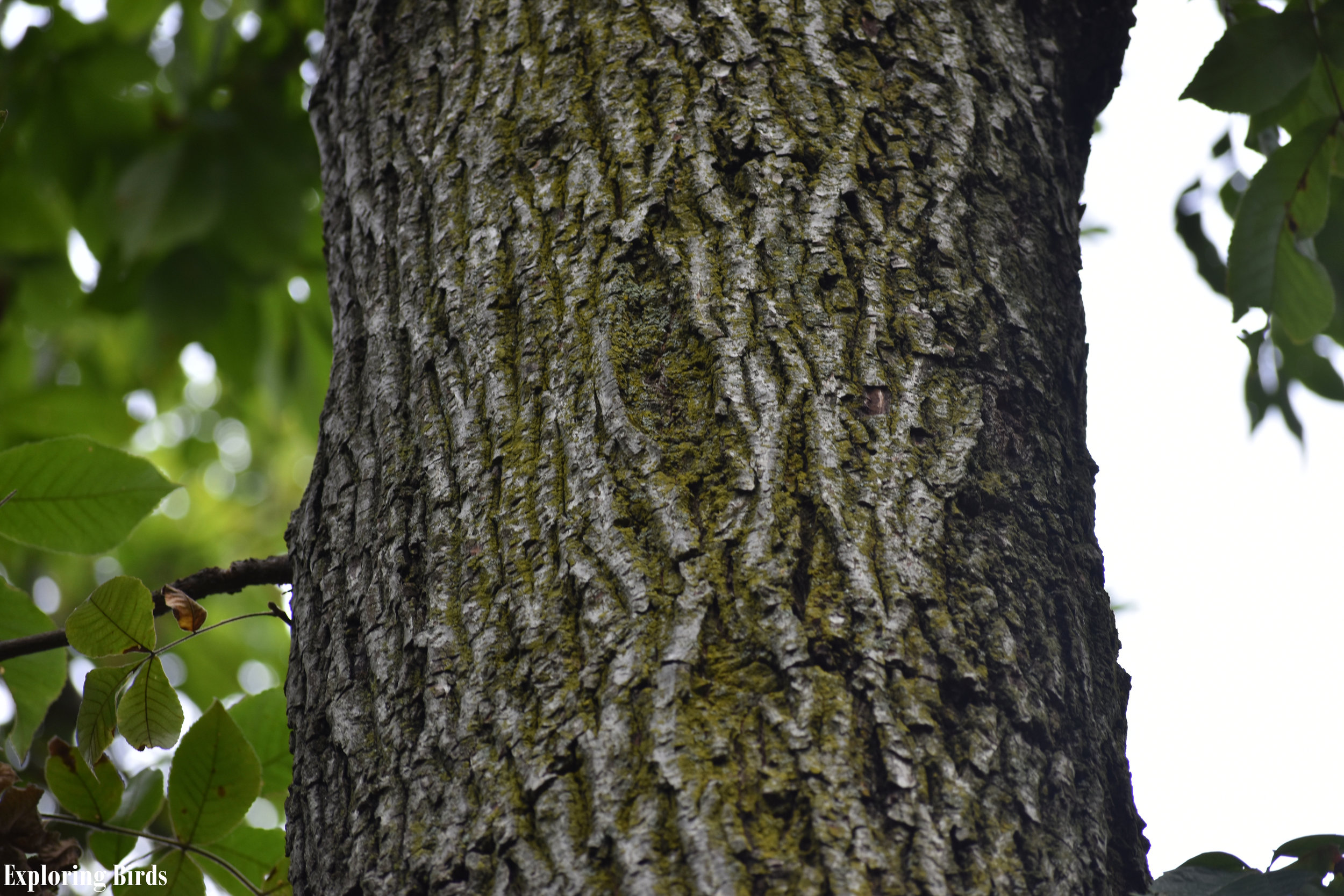 Mockernut Hickory Bark Identification