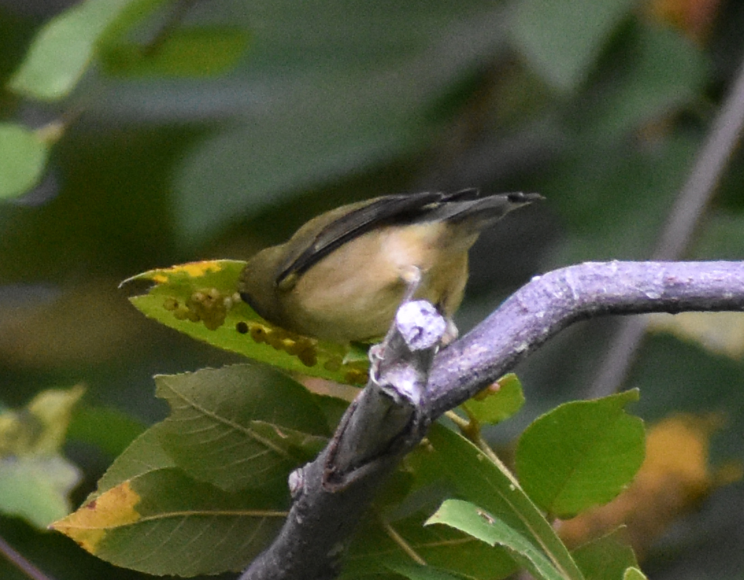 Black-Throated Warbler eating insects in Hickory