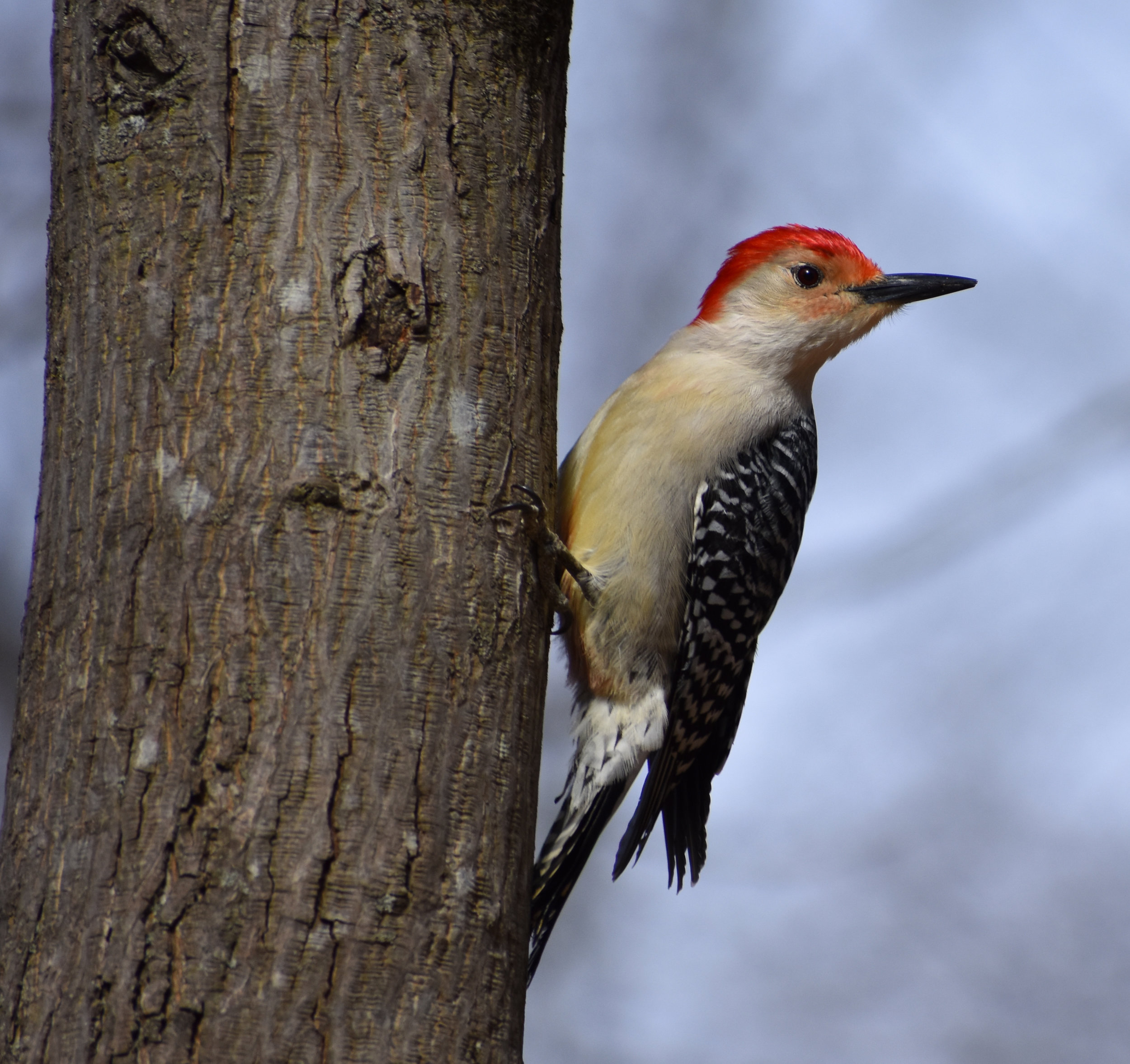Red-Bellied Woodpecker on Mockernut Hickory