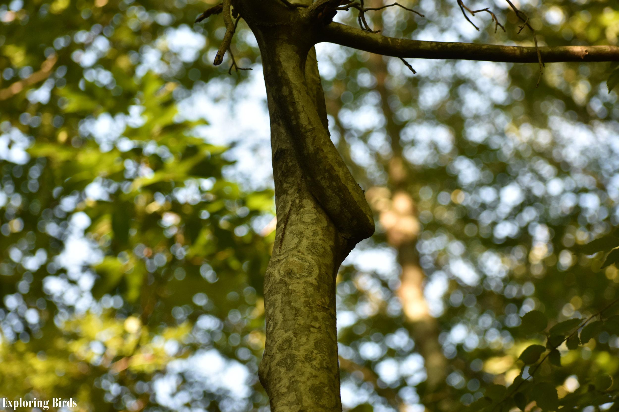 American Hornbeam attracts American Goldfinch
