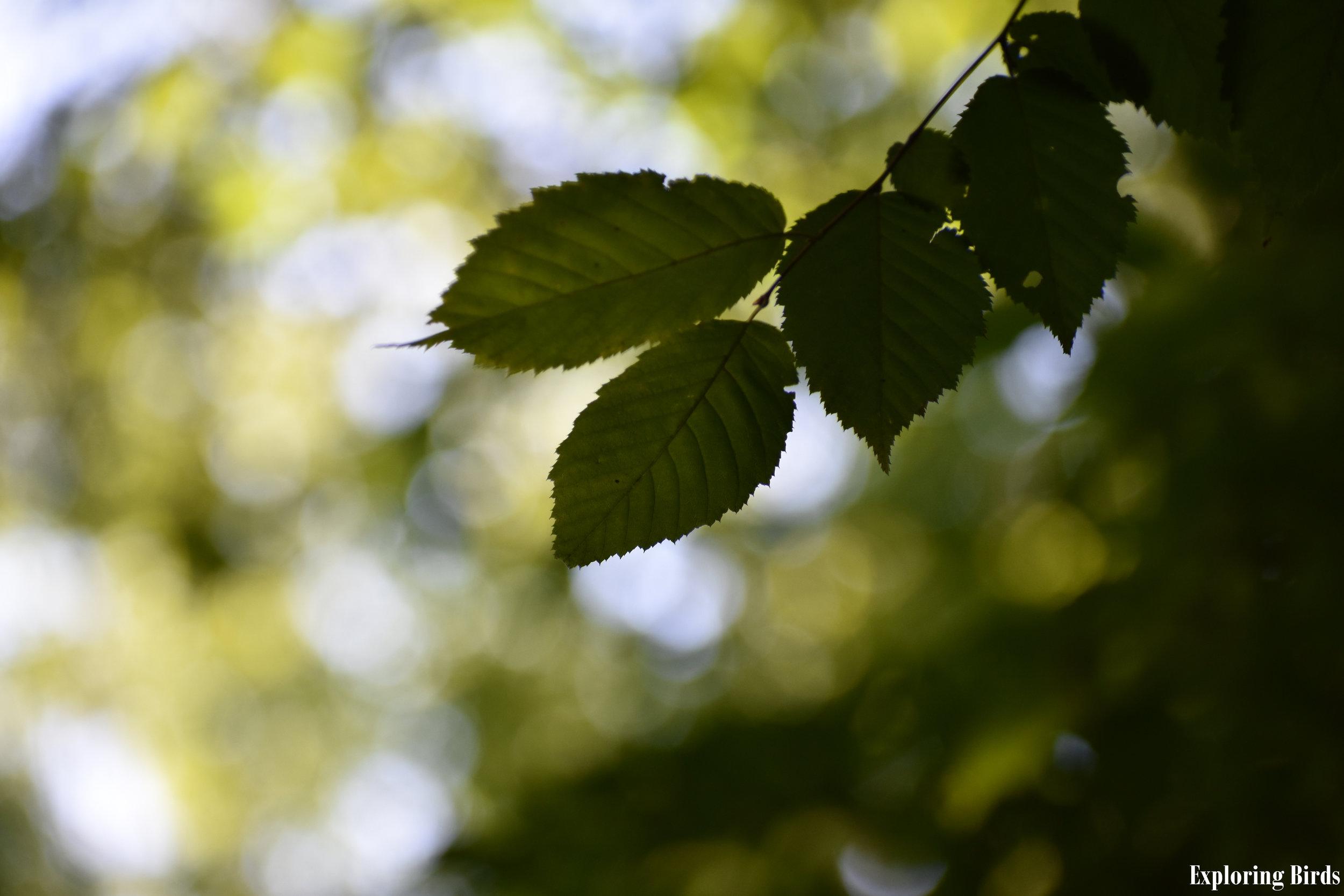 American Hornbeam Leaves