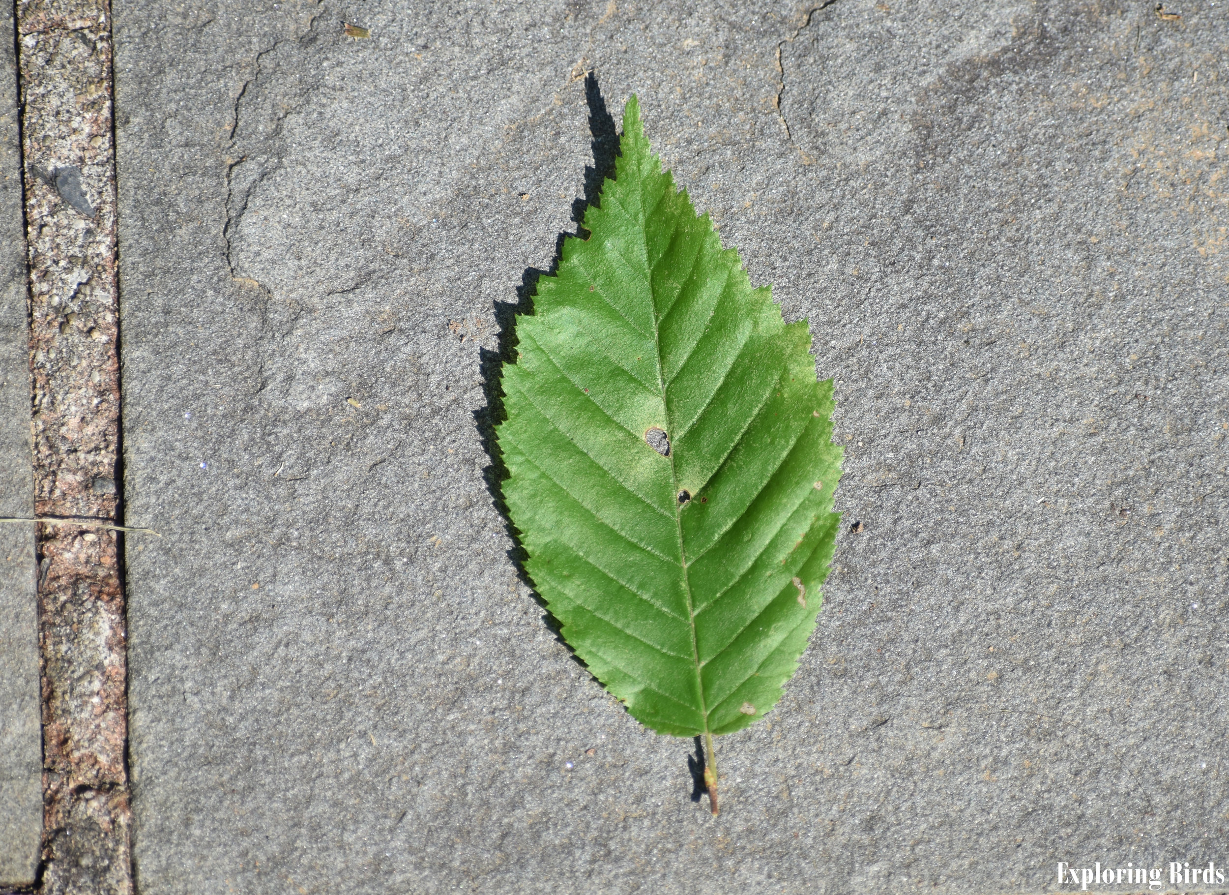 American Hornbeam Leaf Identification