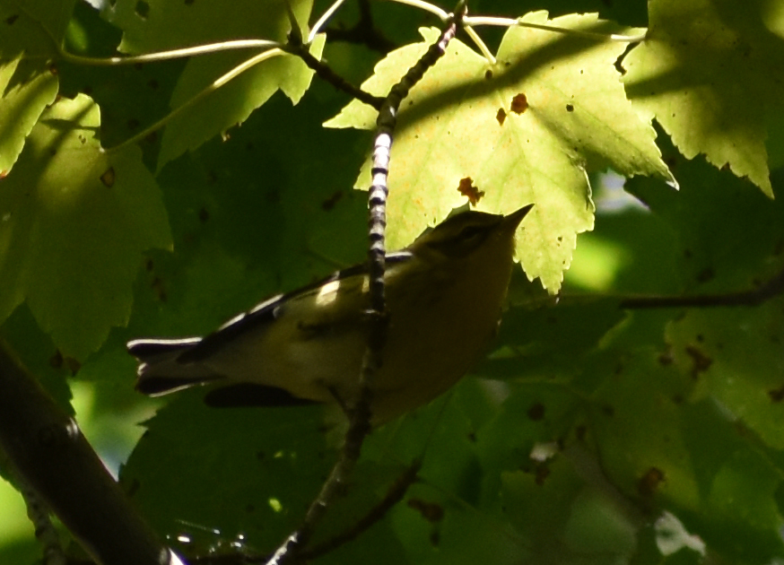 Blackburnian Warbler in Red Maple