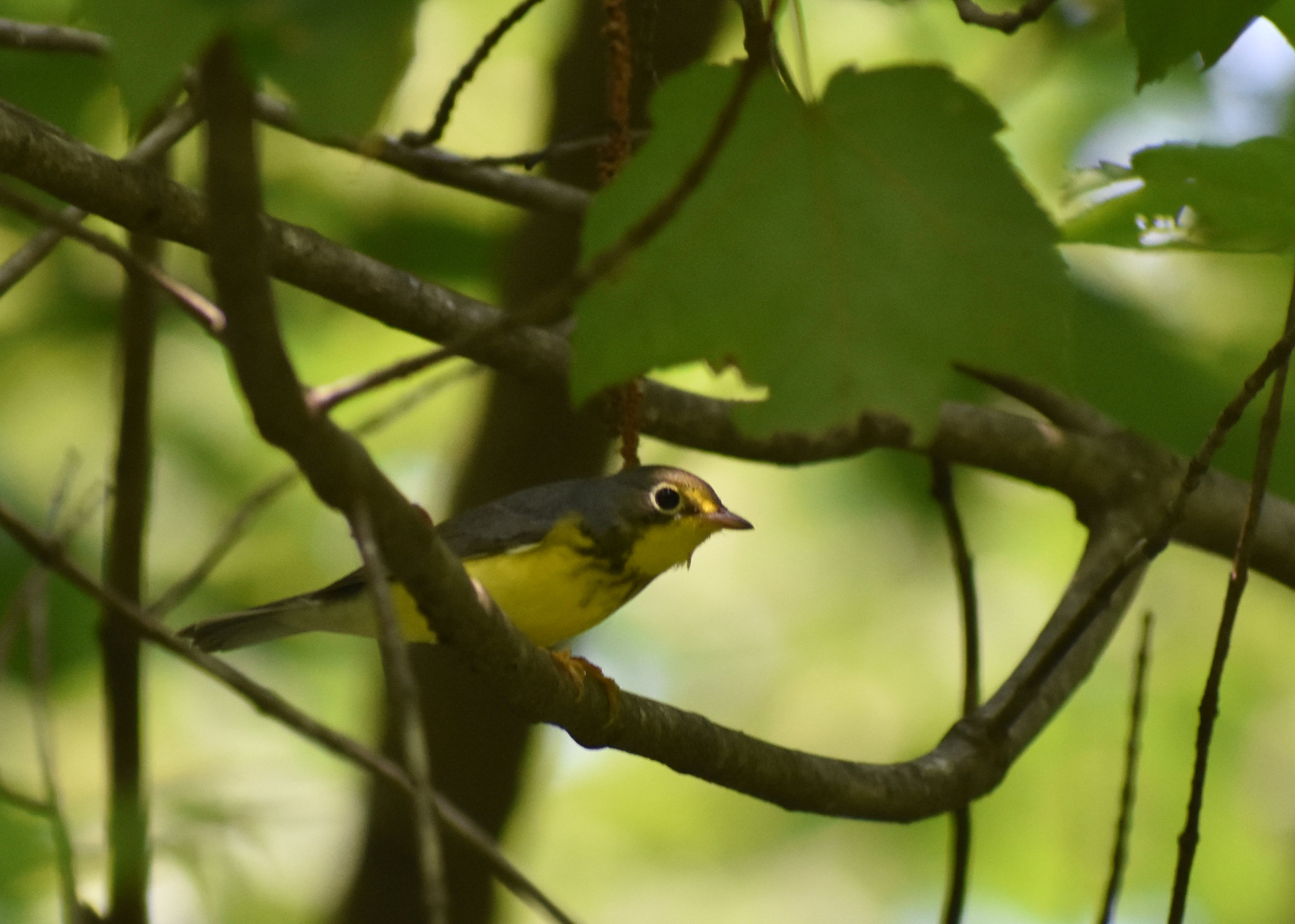 Canada Warbler in Red Maple