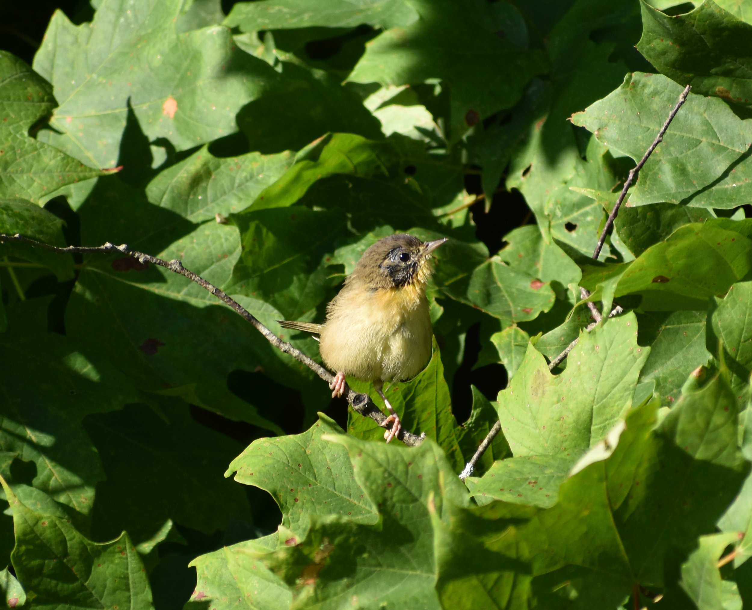 Common Yellowthroat in Red Maple