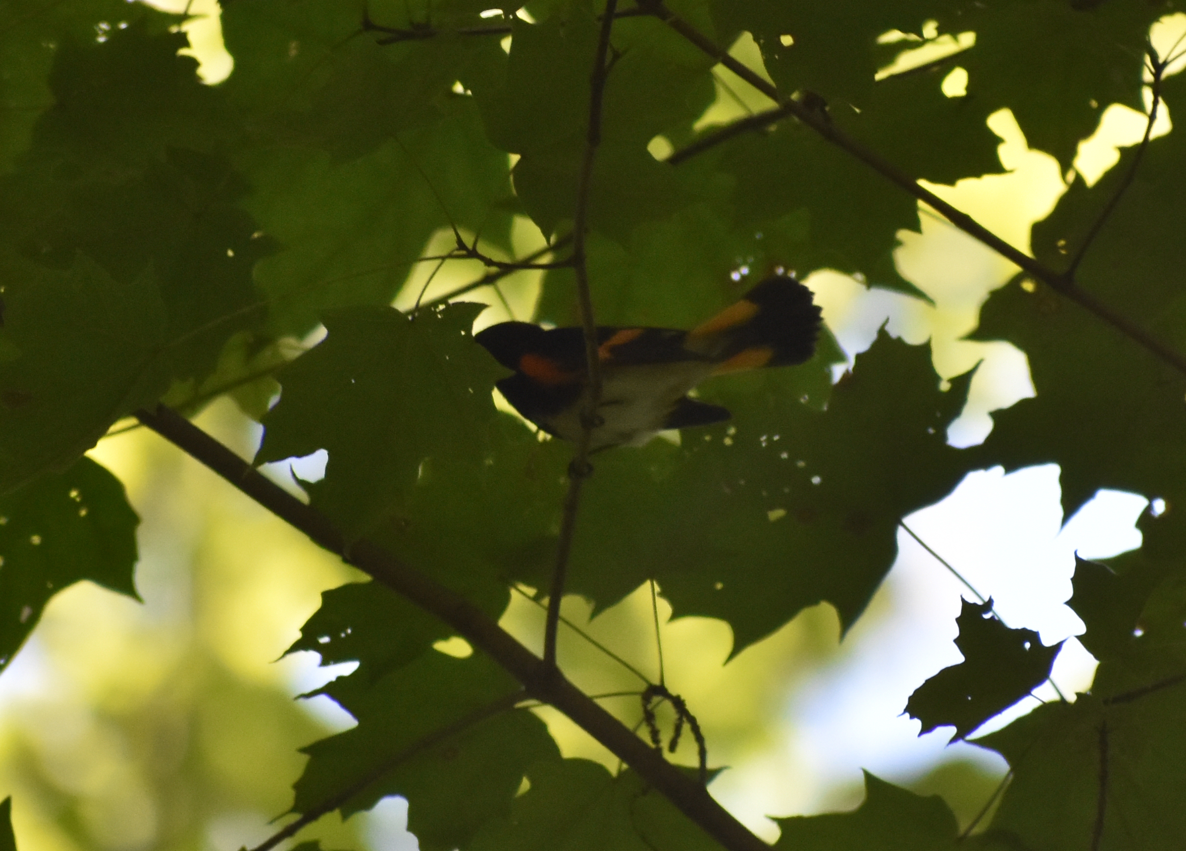 American Redstart in Sugar Maple