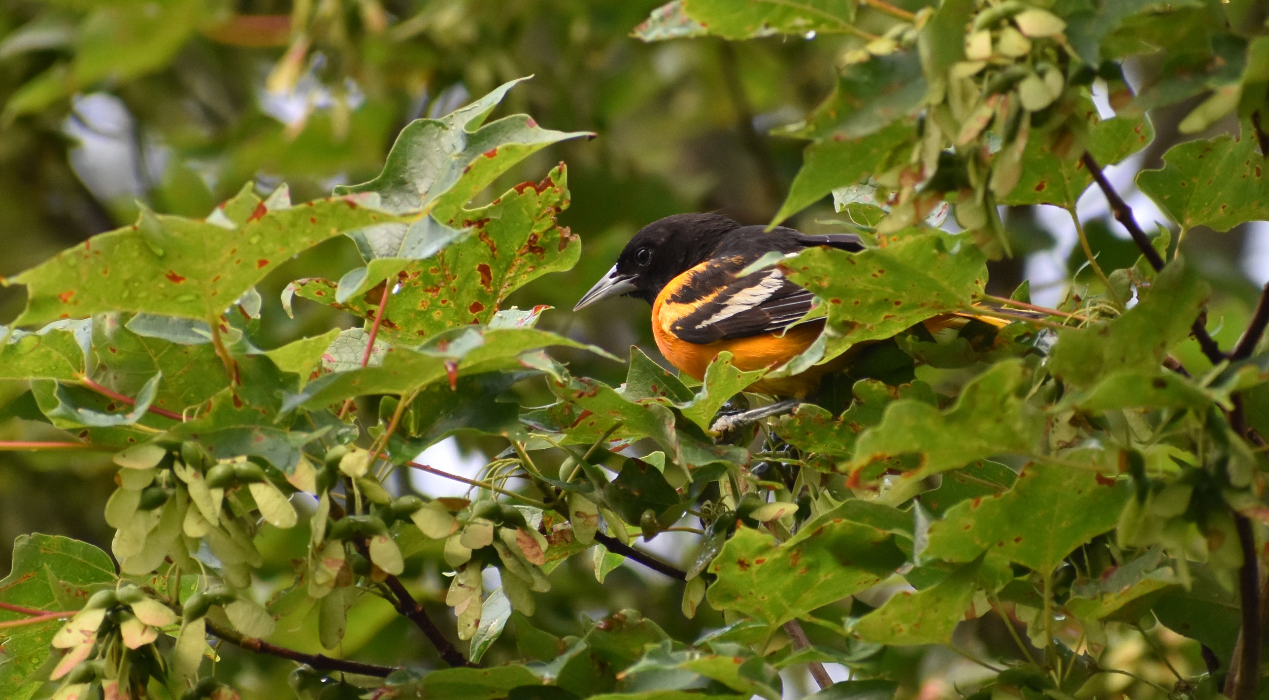 Baltimore Oriole in Red Maple