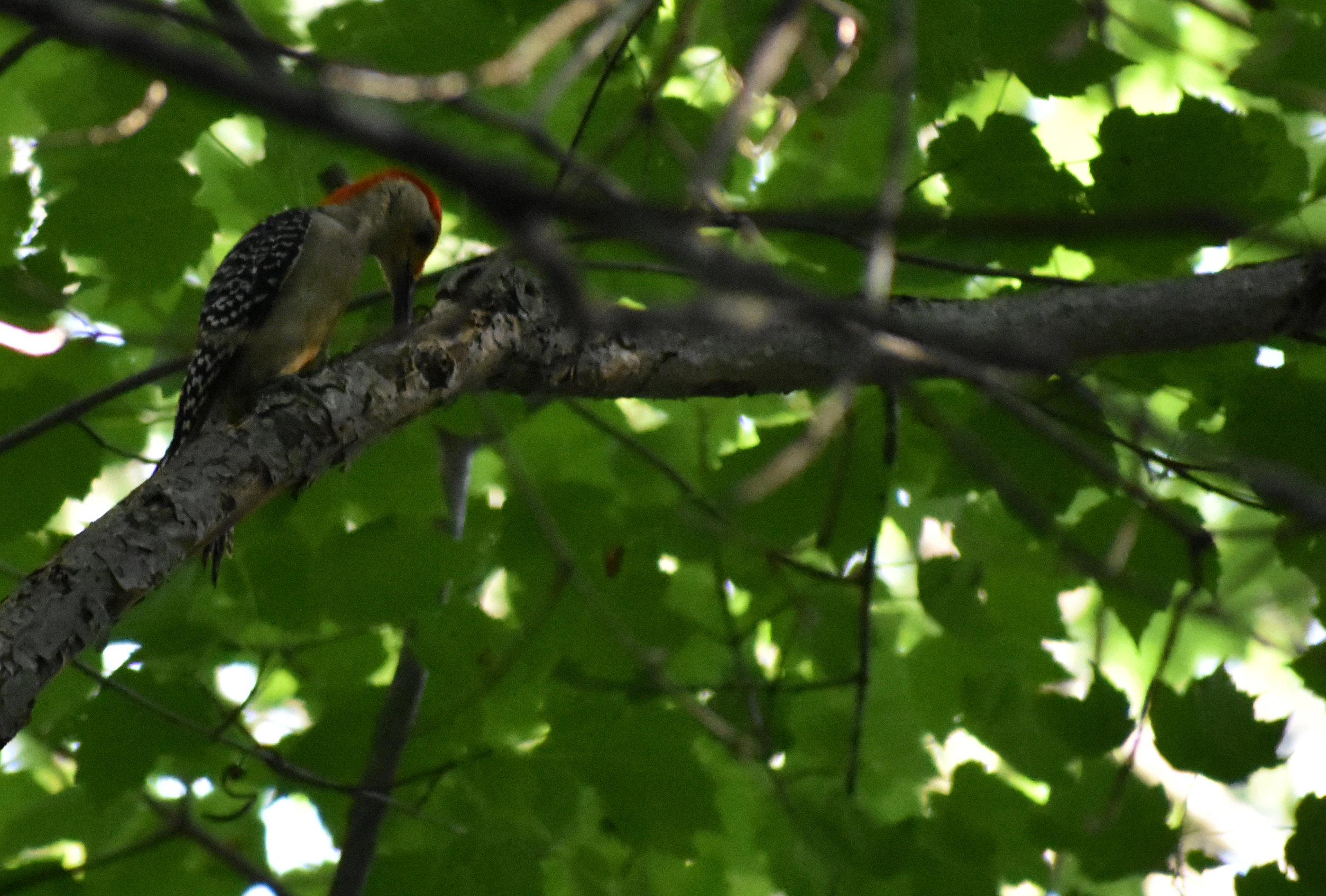 Red-Bellied Woodpecker in Red Maple